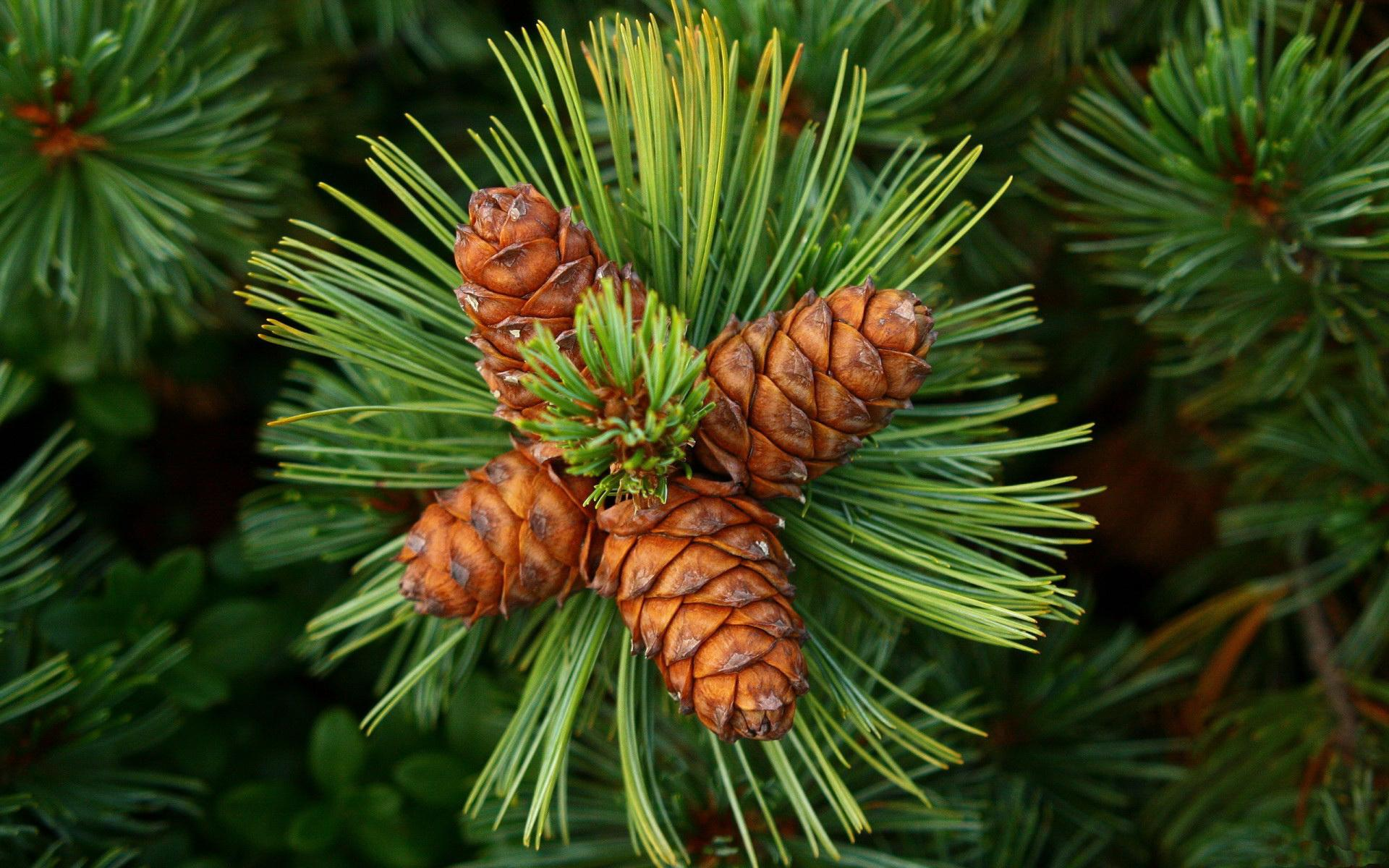 Pretty pine wallpaper 1920x1200 31471 for Pinecone wallpaper