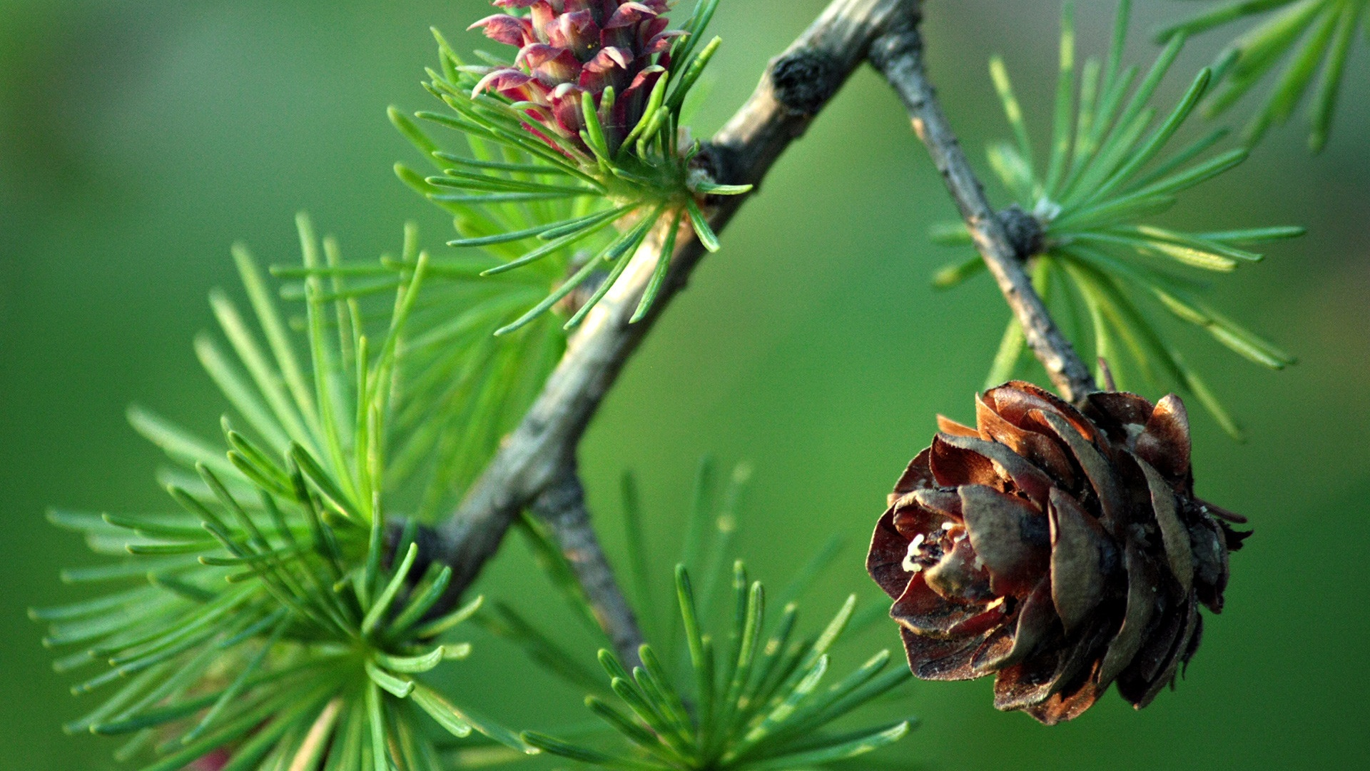 Pretty Pinecone Wallpaper