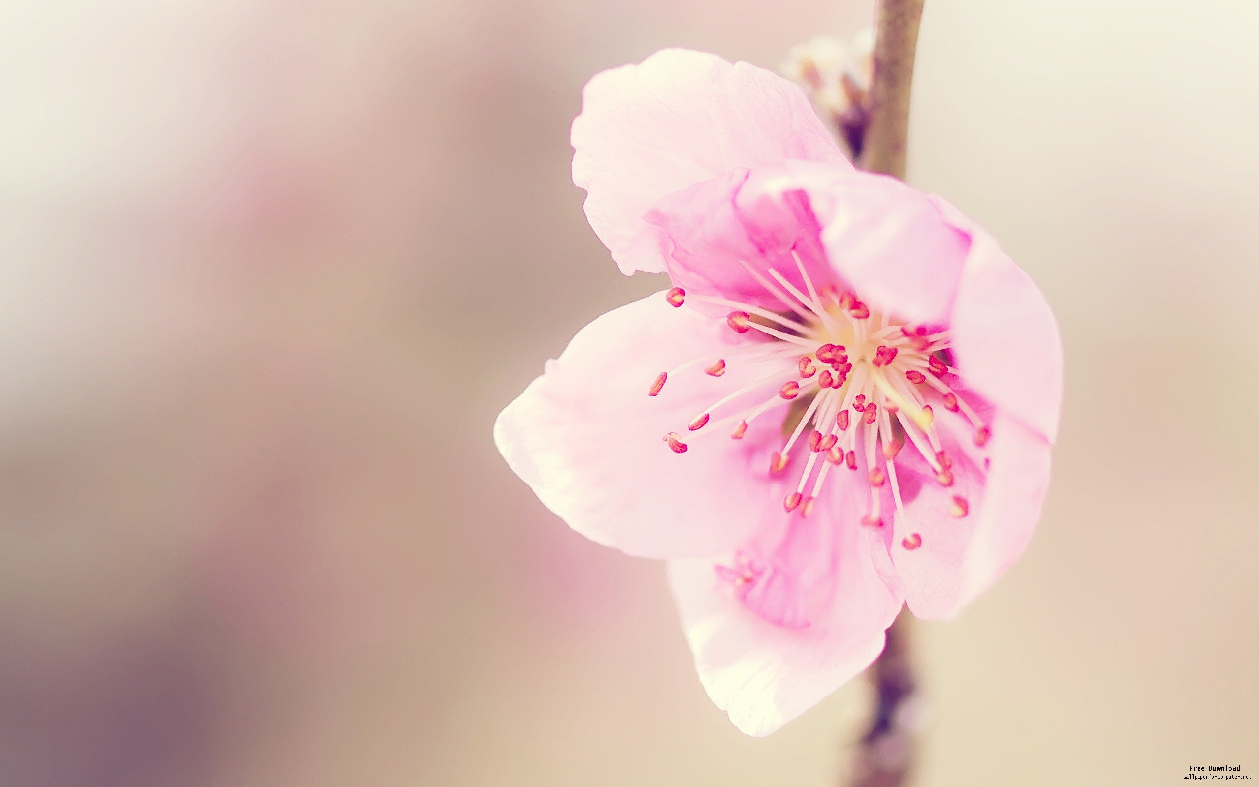 Asian Flower Wallpaper: Pretty Pink Flowerflower Macro Photography Wallpapers View 2560x1600px