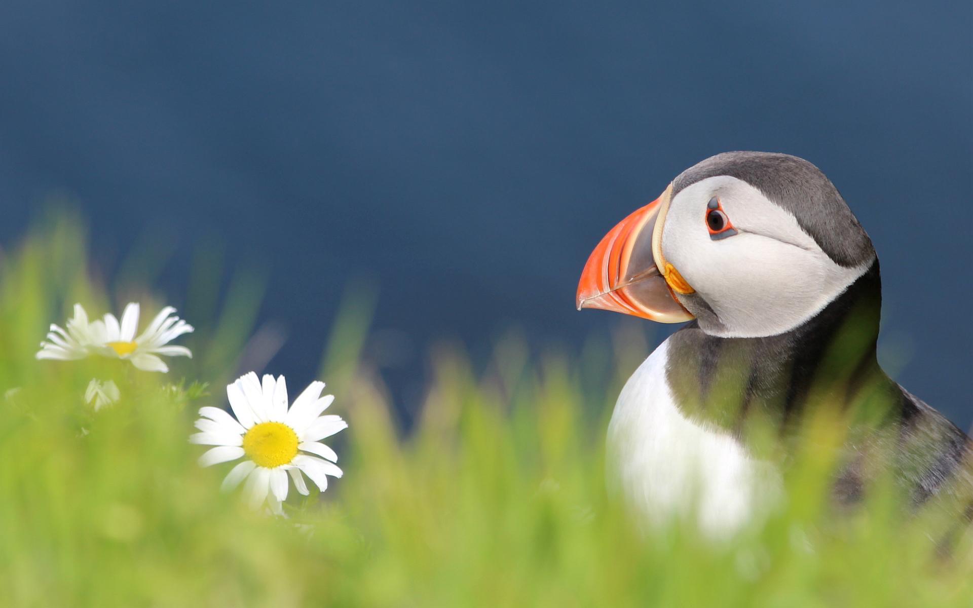 Free Puffin Wallpaper