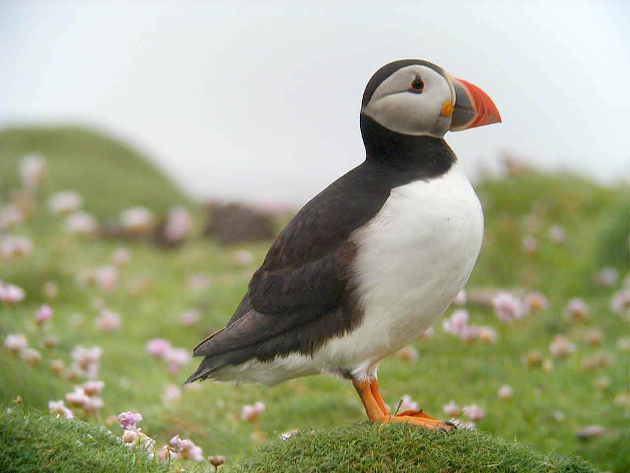free Puffin wallpaper wallpapers download