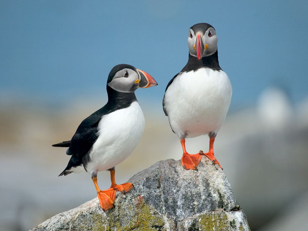 Puffin Wallpapers