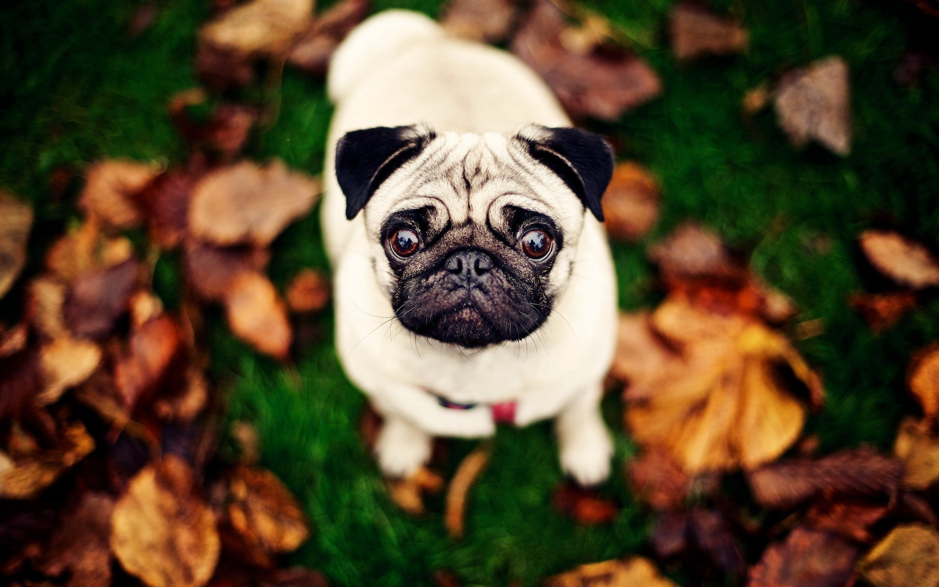 Pug Dog Leaves Grass Photo