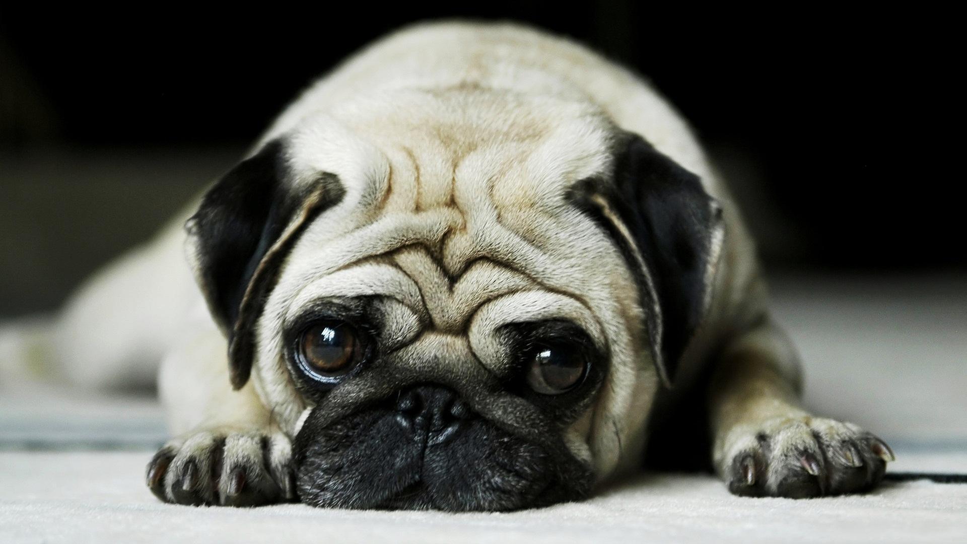 pug-cute-dog-pet-animal-1920x1080