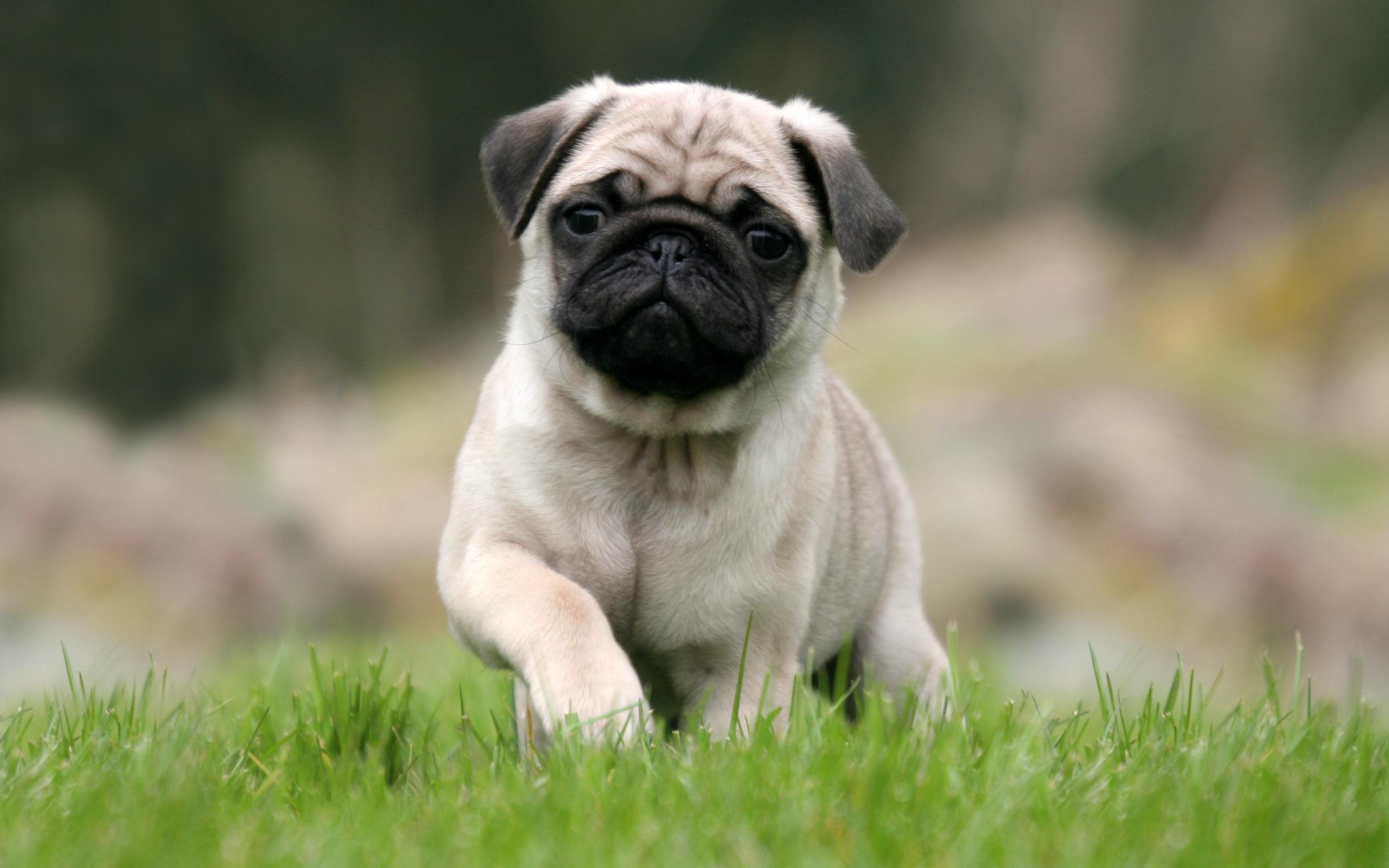 2560x1600 Animal Pug
