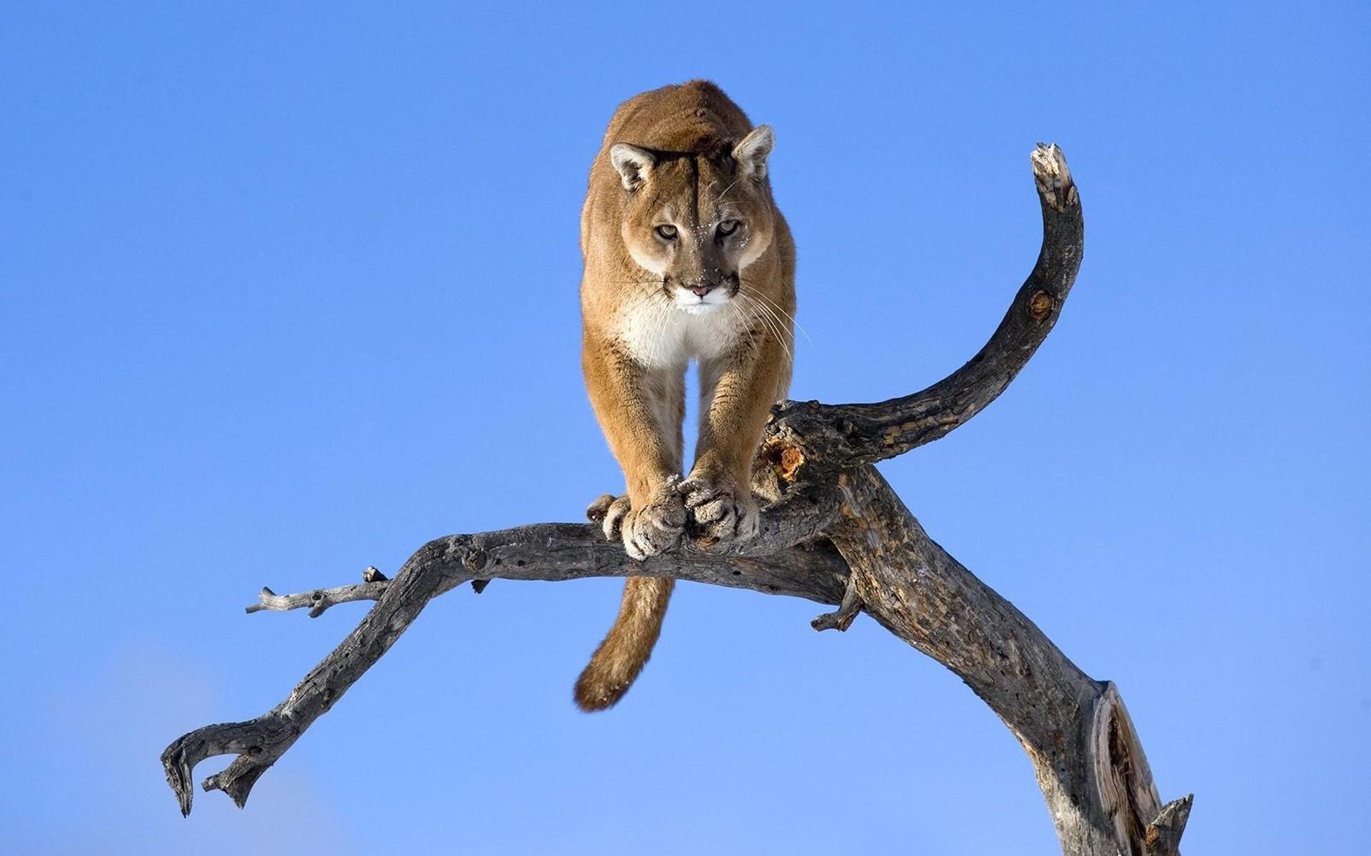 Puma branch