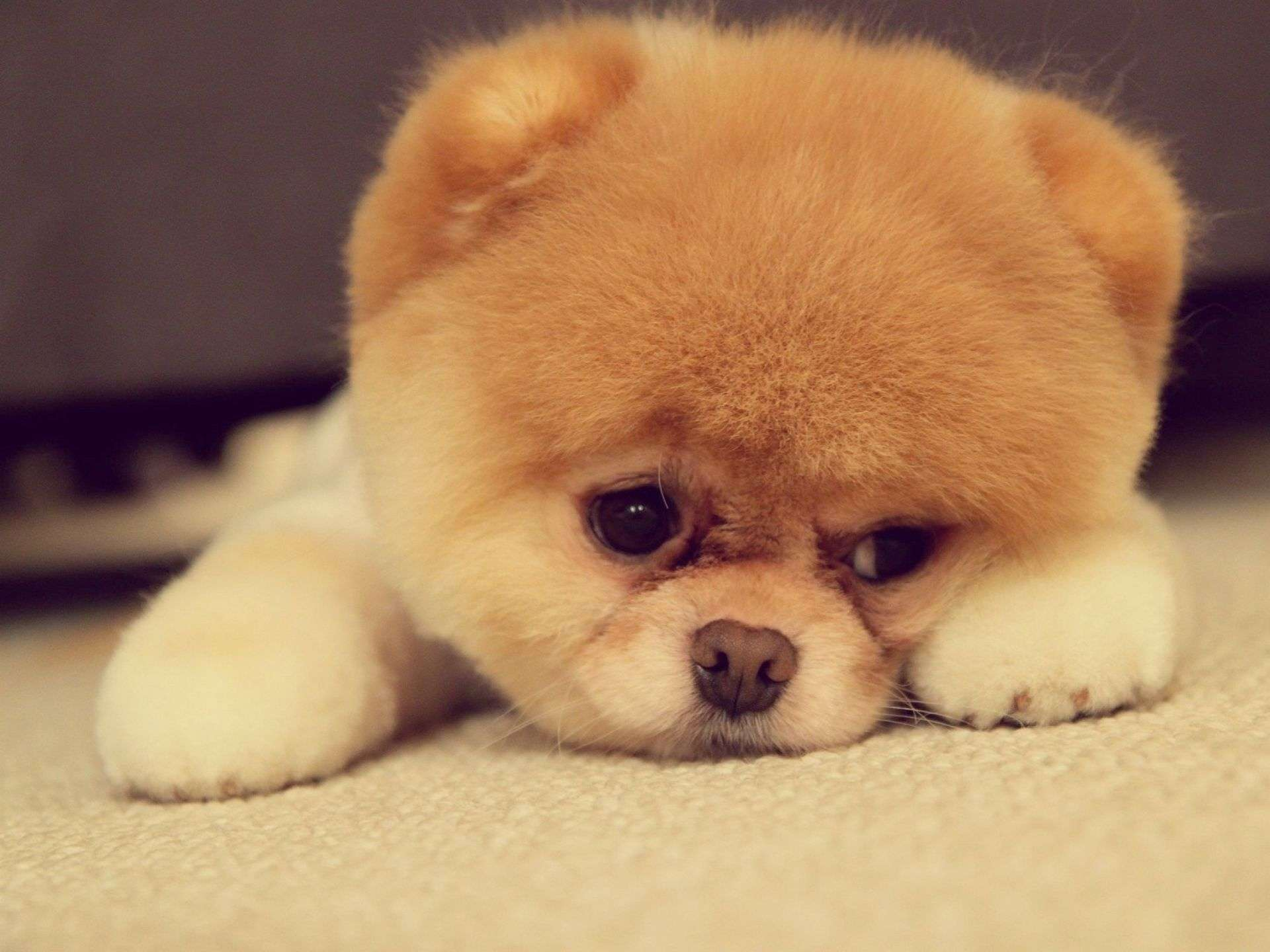Sad Puppy Face Wallpaper HD Widescreen