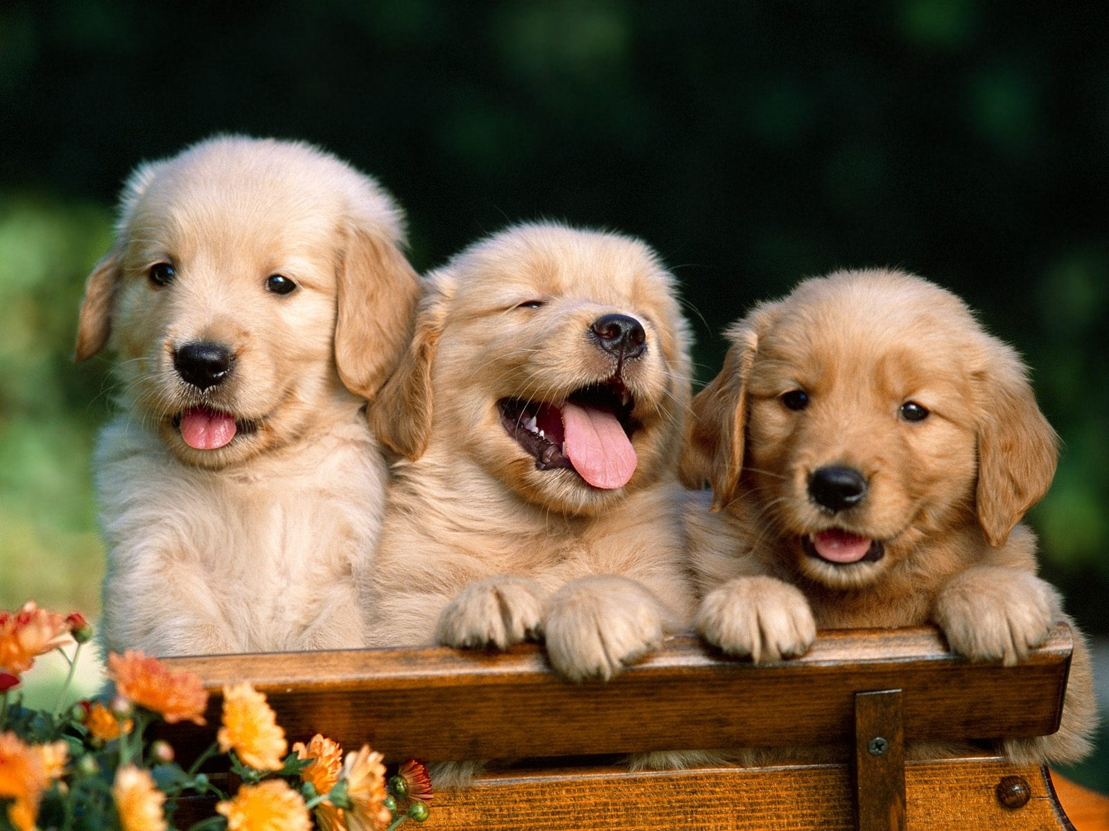 ... puppy-wallpaper-hd ...