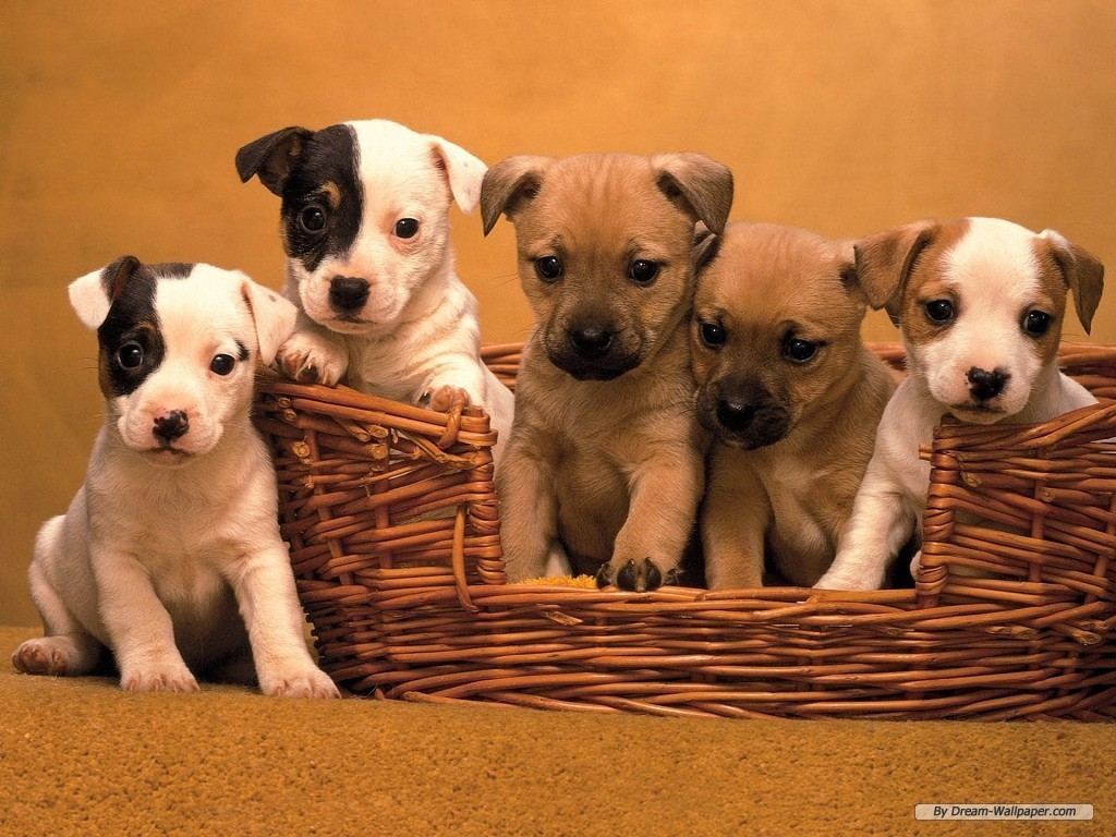 Dogs Puppy Wallpaper