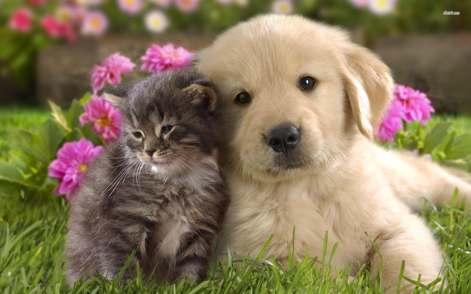 ... Golden retriever puppy and kitten wallpaper 1920x1200 ...