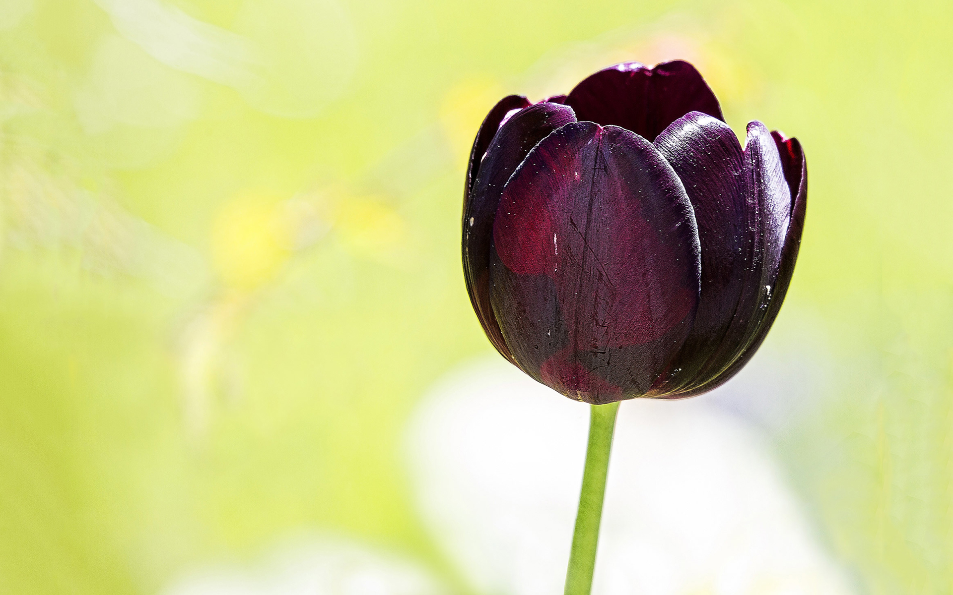 Purple black tulip
