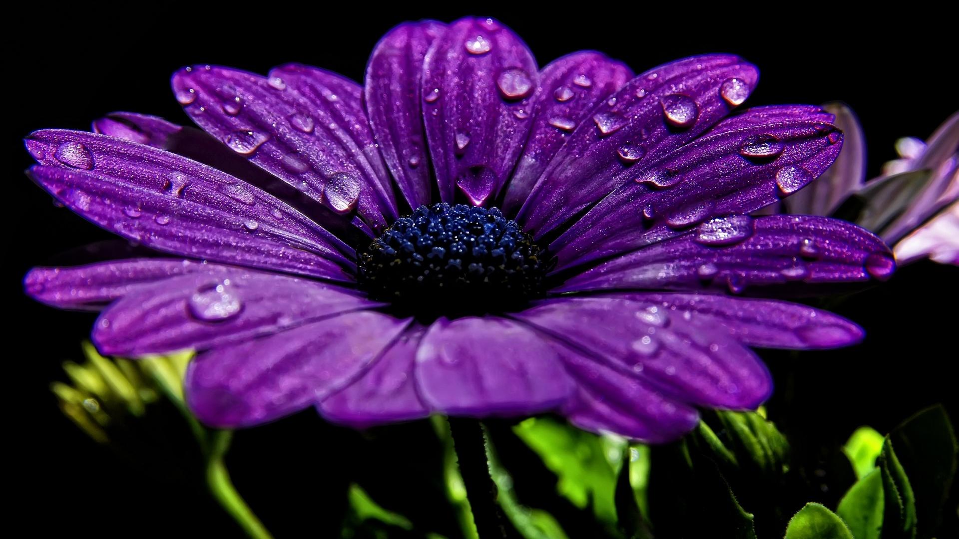 Purple Chrysanth