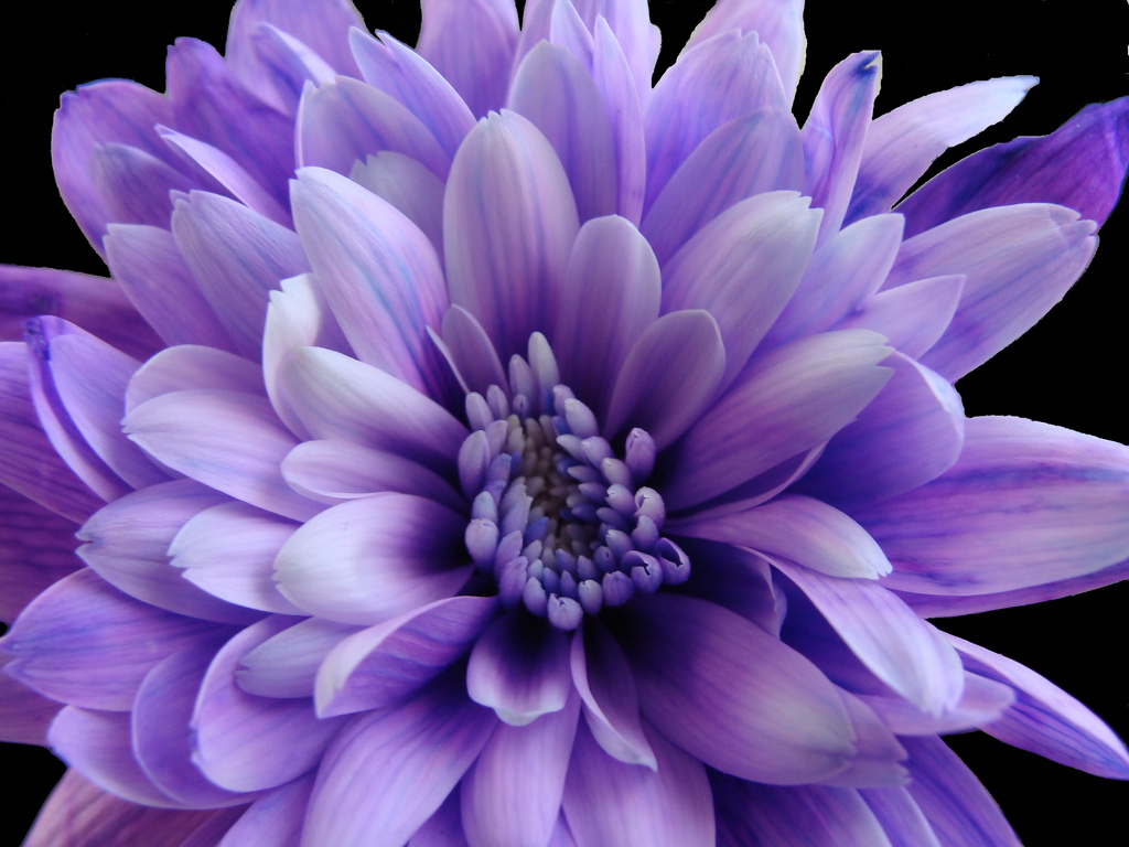 Purple Chrysanthemum | by Rachael Hickling Purple Chrysanthemum | by Rachael Hickling