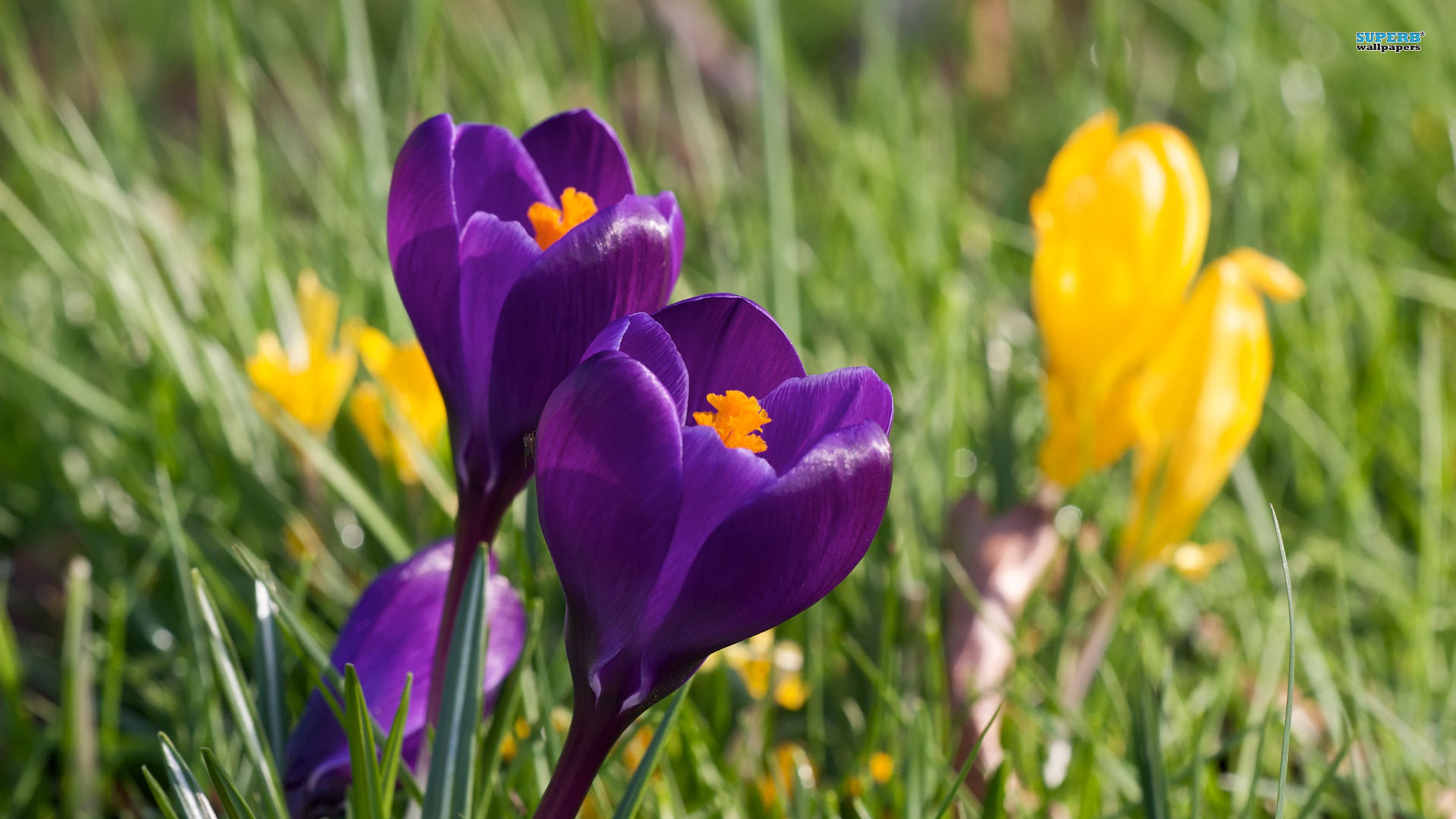 Purple Crocus wallpaper 1920x1080