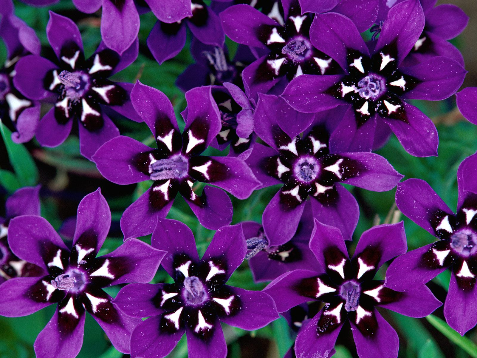 Purple Flowers desktop wallpaper