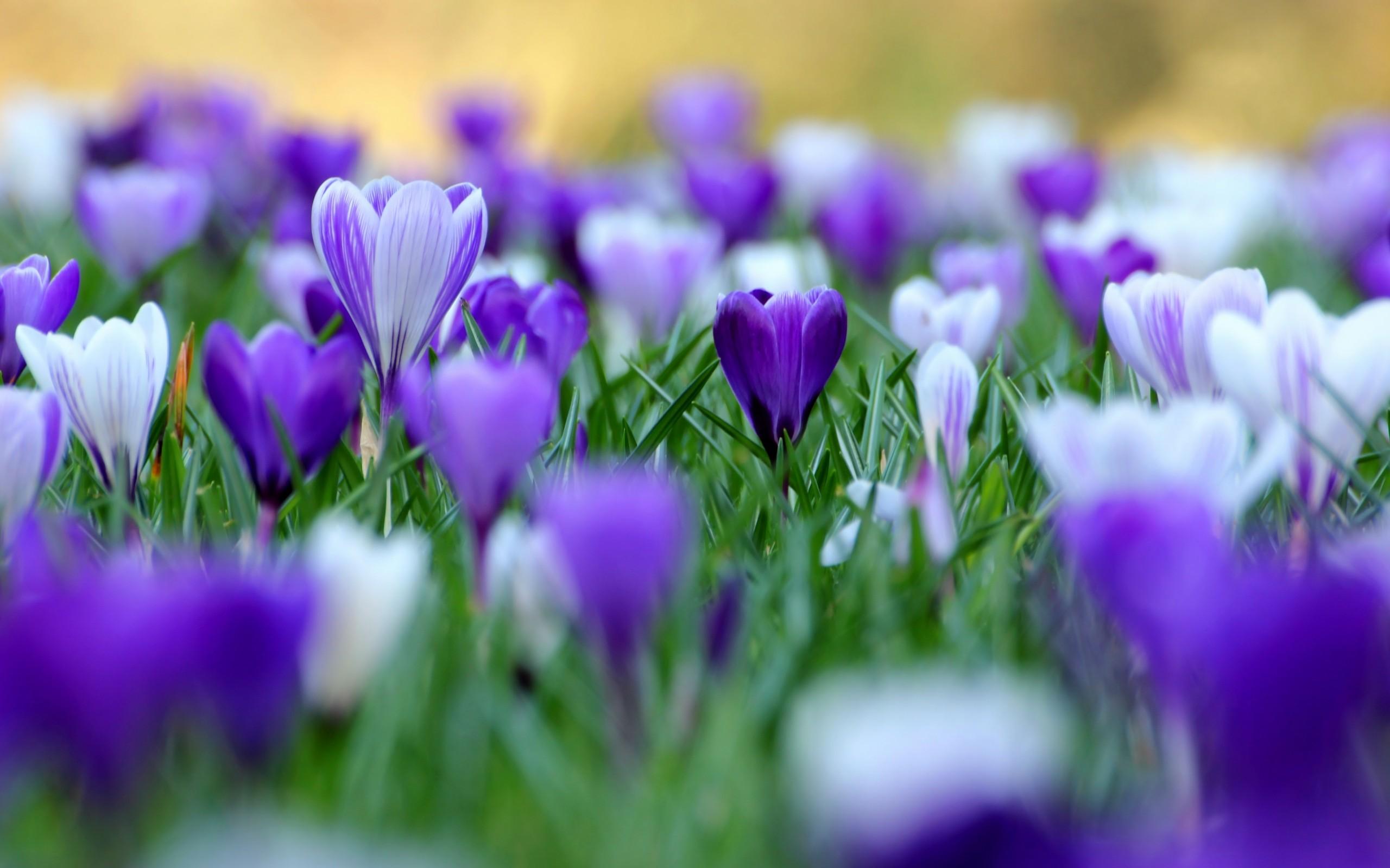 ... Purple Flowers · Purple Flowers HD