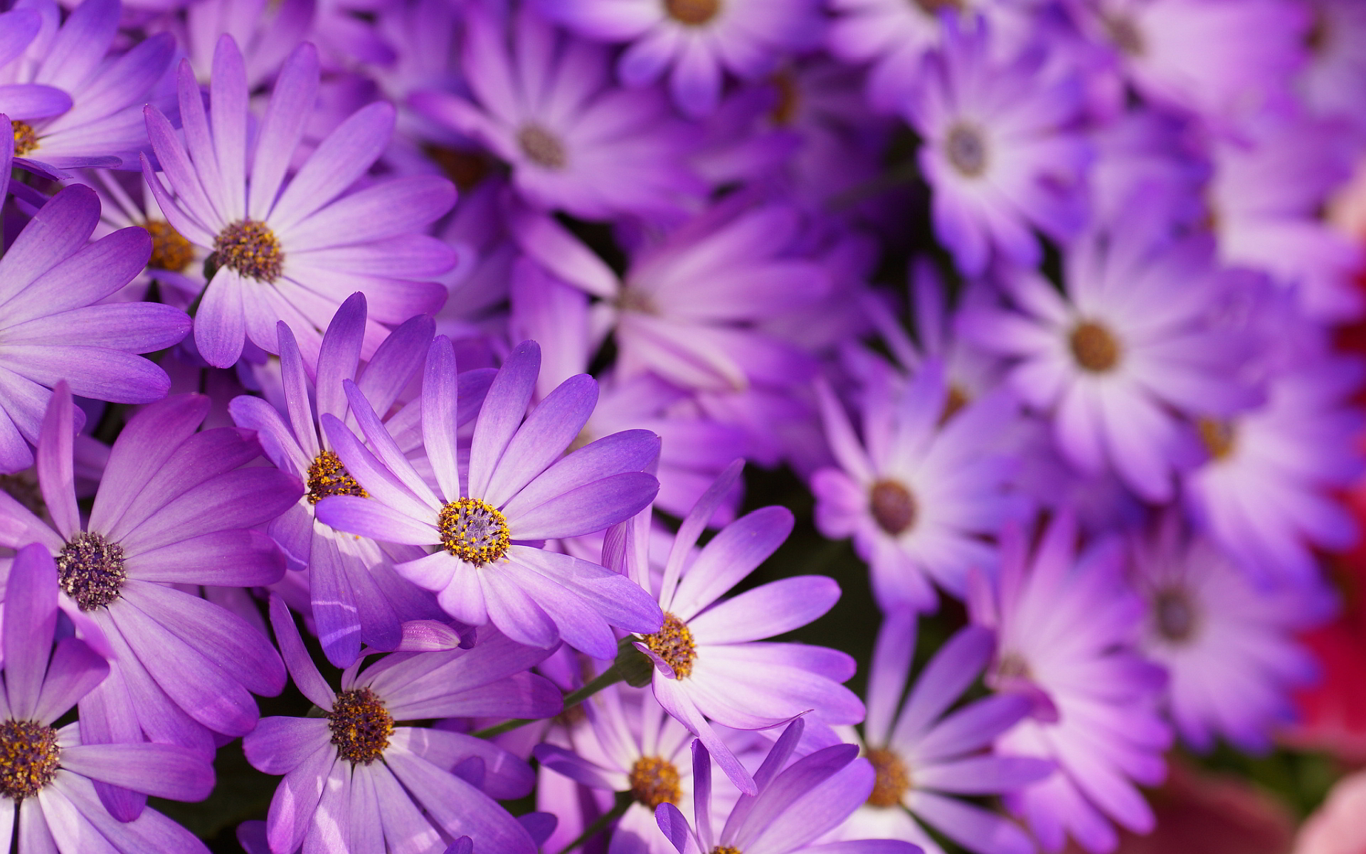 Purple flowers hd