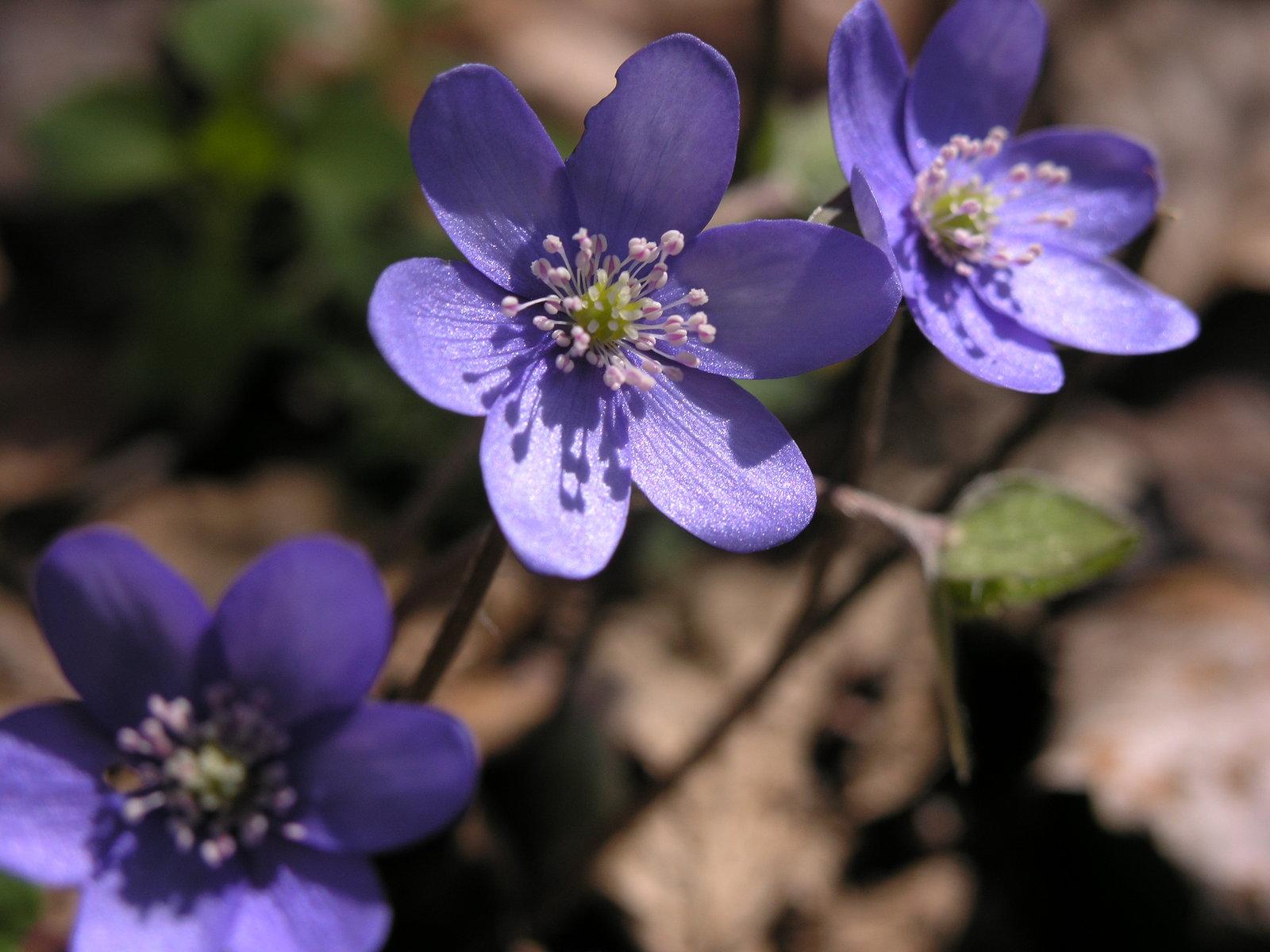 Spring little purple flowers by kinderitza Spring little purple flowers by kinderitza