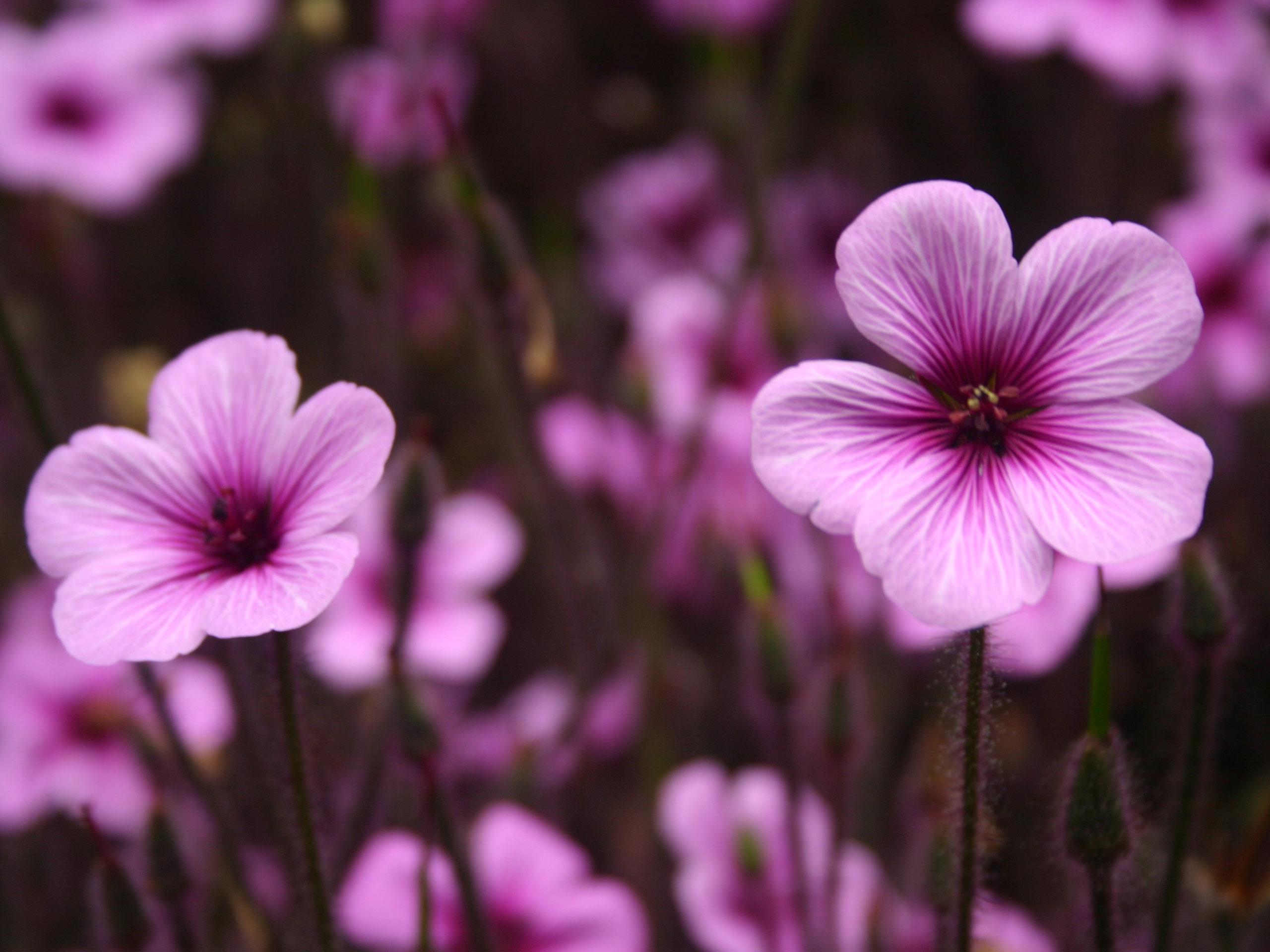 Purple Flowers Wallpaper