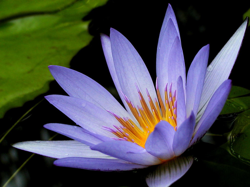 Purple Lotus Background