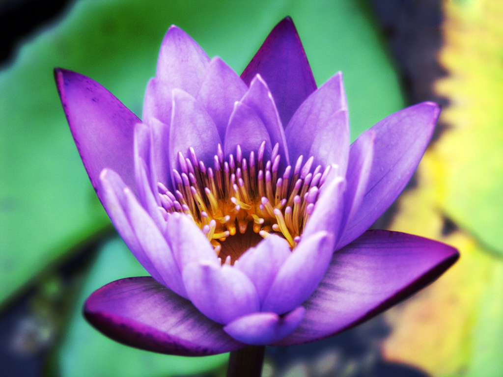 Purple Lotus HD