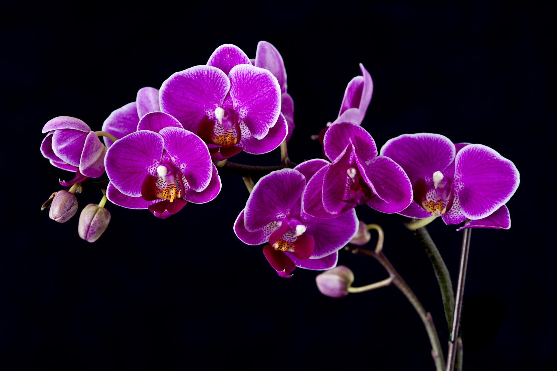 Purple Orchid Flower Images