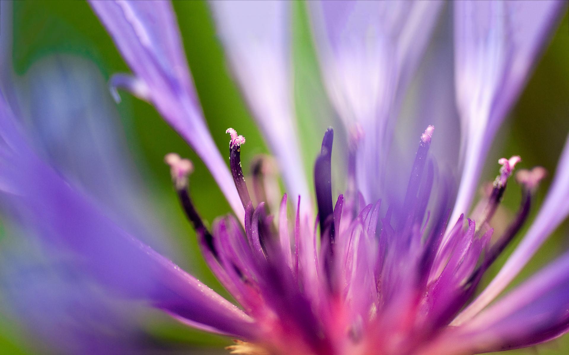 Purple pink flower macro