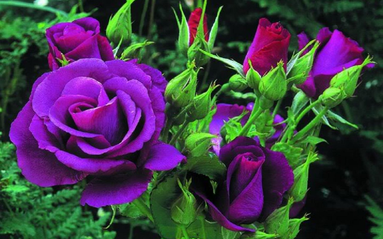Purple Rose Million Wallpapers Purple Roses Leaves Flowers Buds Nature