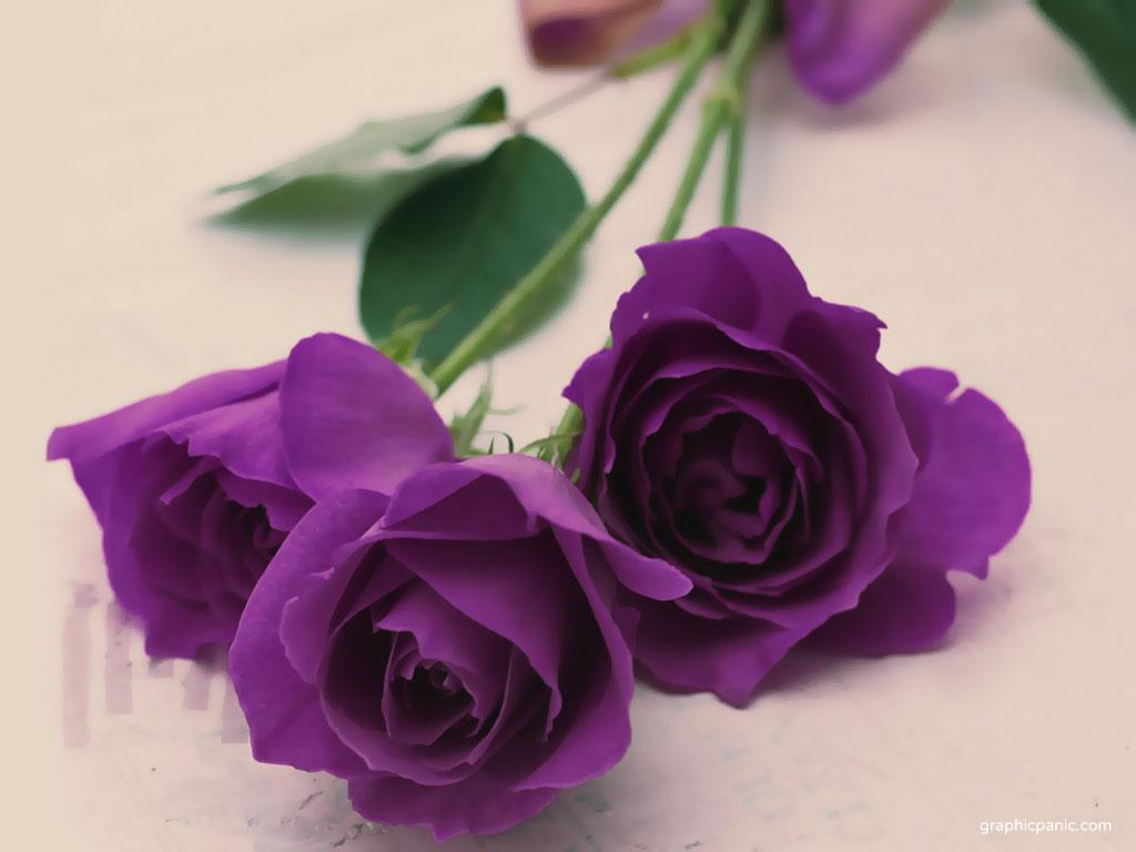 Purple Roses Picture