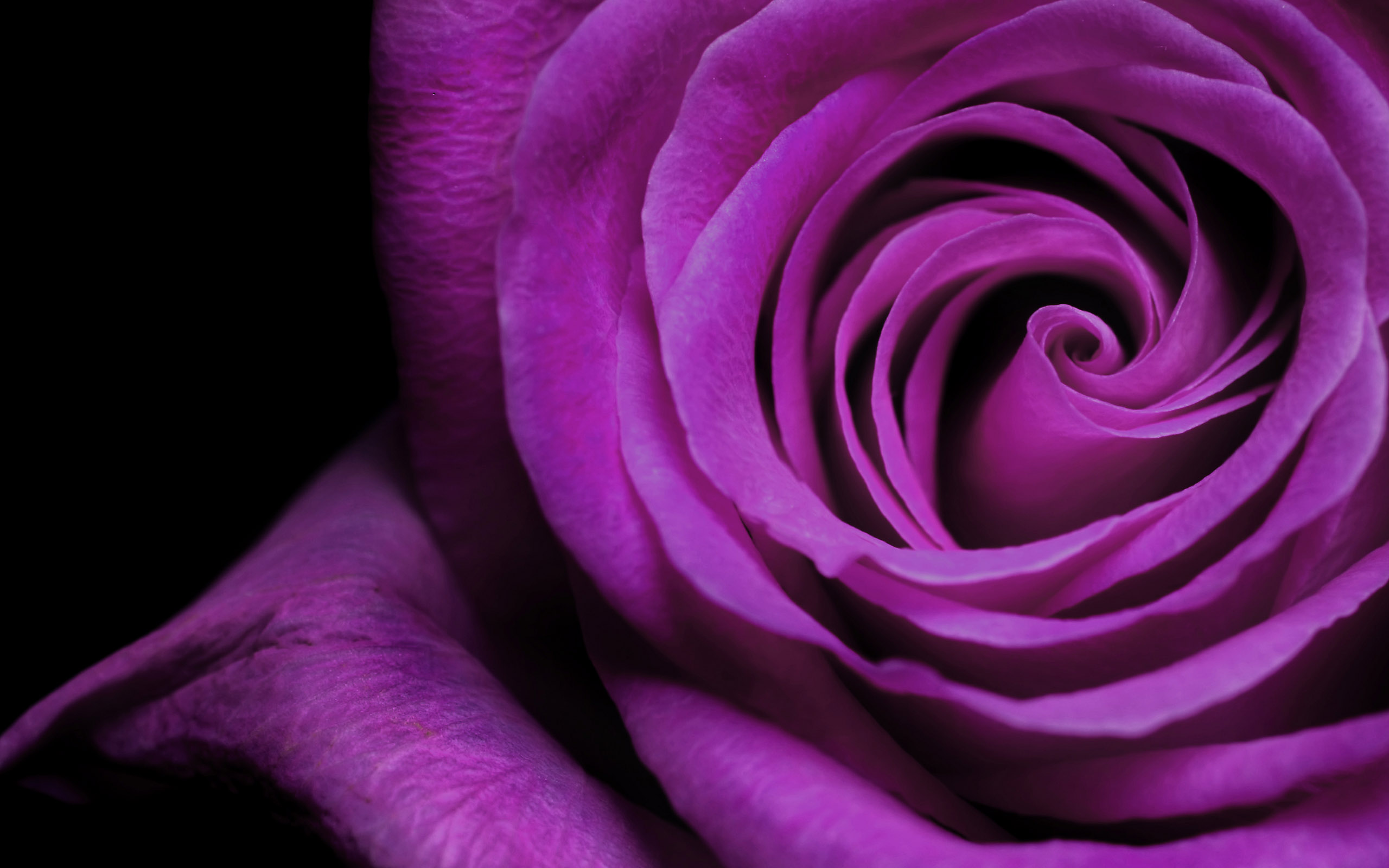 Purple Rose Bud Flower Wallpaper