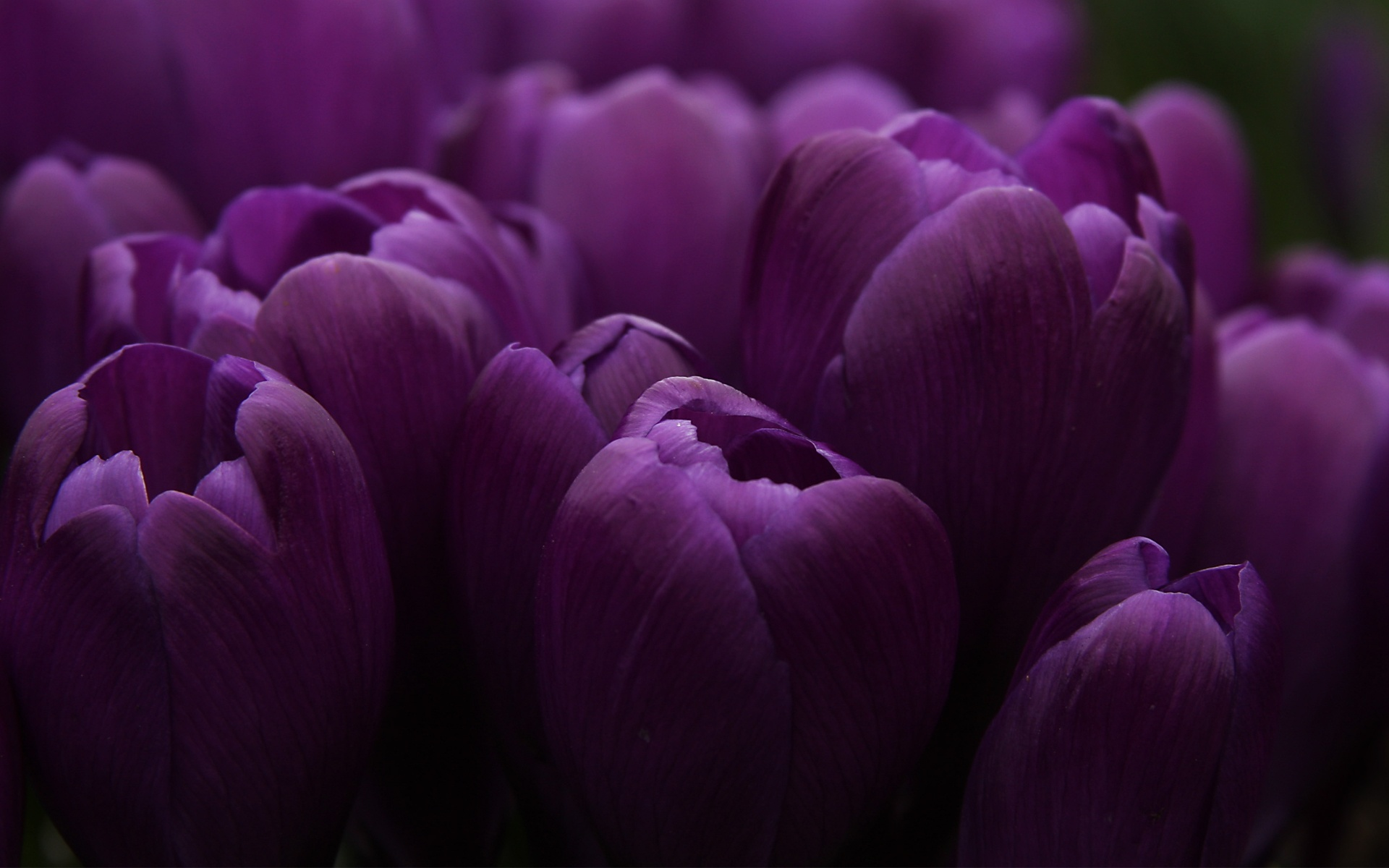 purple tulips (8)