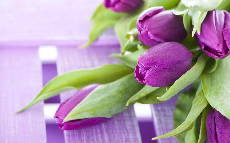 Purple Tulips Flower Image Wallpapers