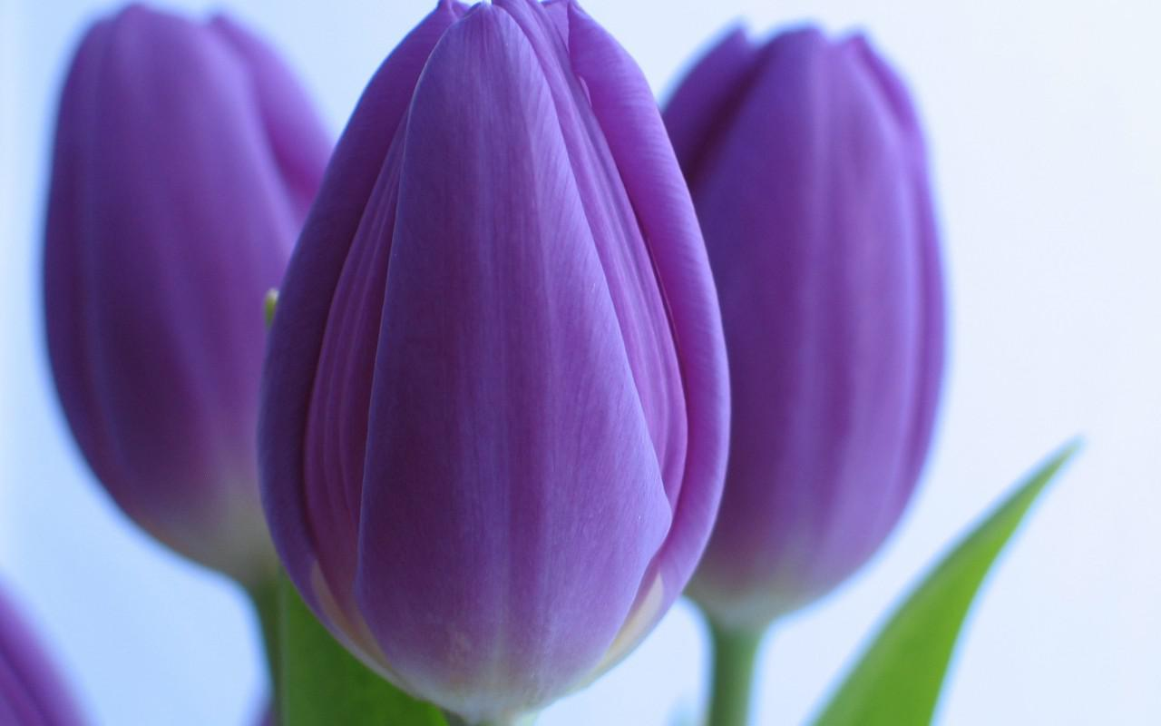 Purple tulips HQ WALLPAPER - (#135846)