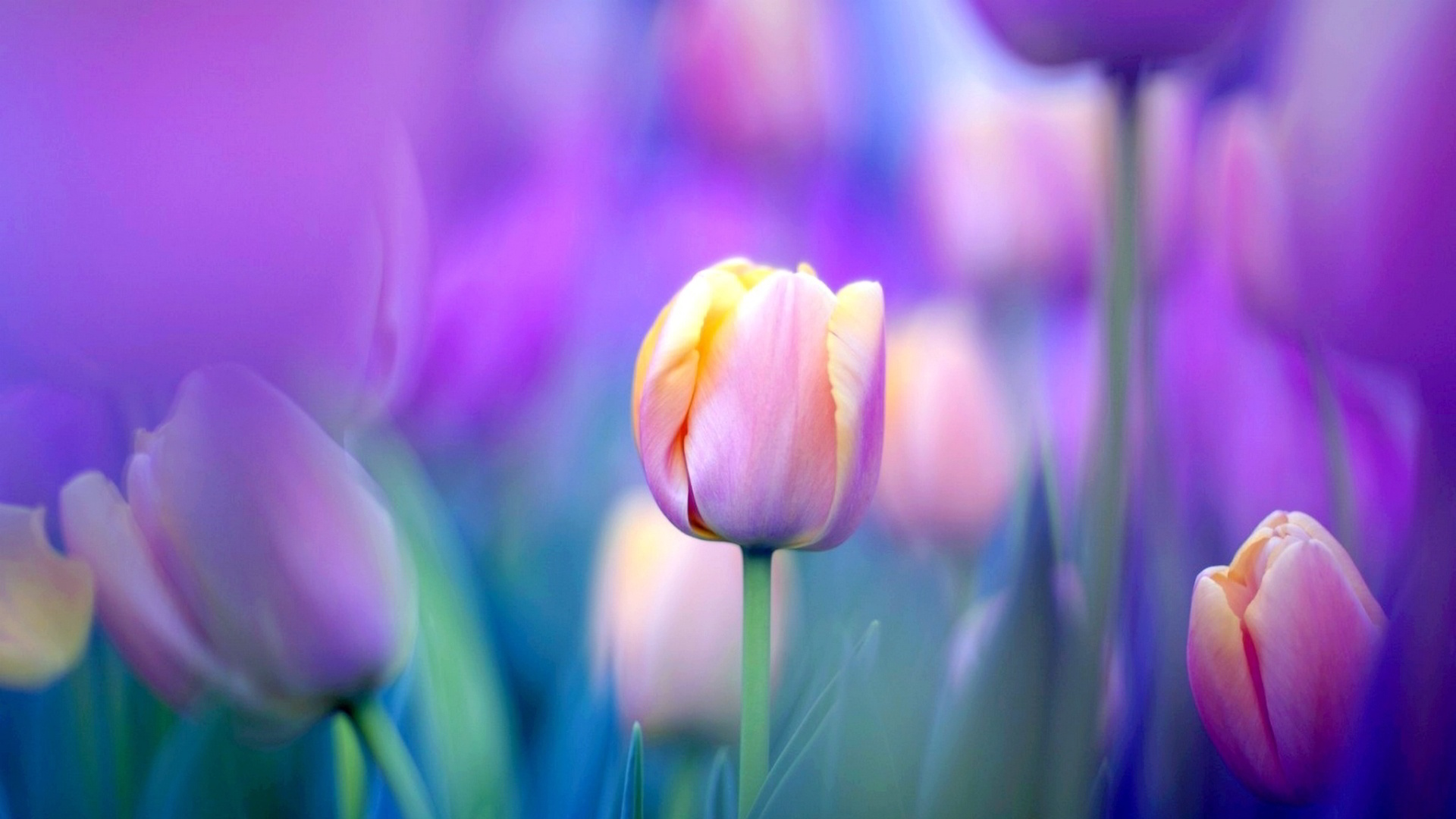 Tulips Flower Wallpaper for Your Desktop Background