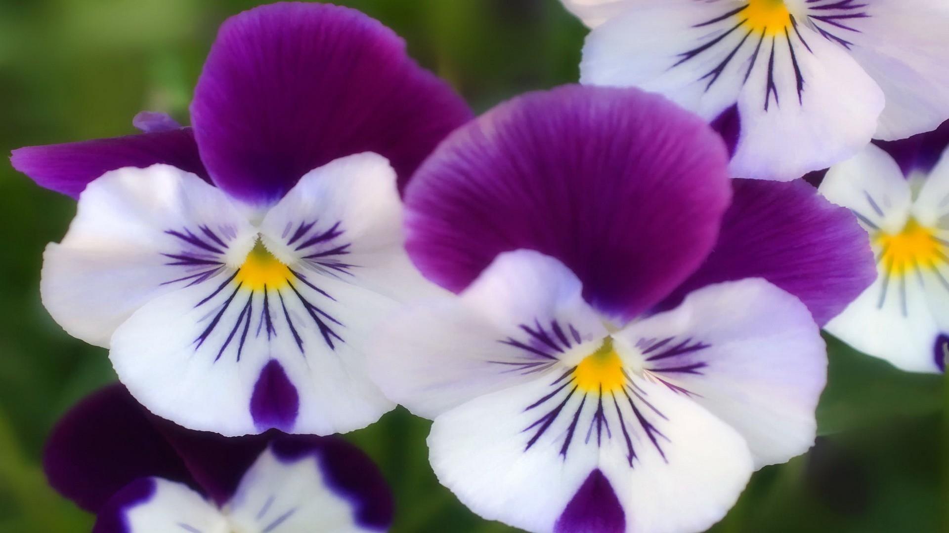 Purple white flowers