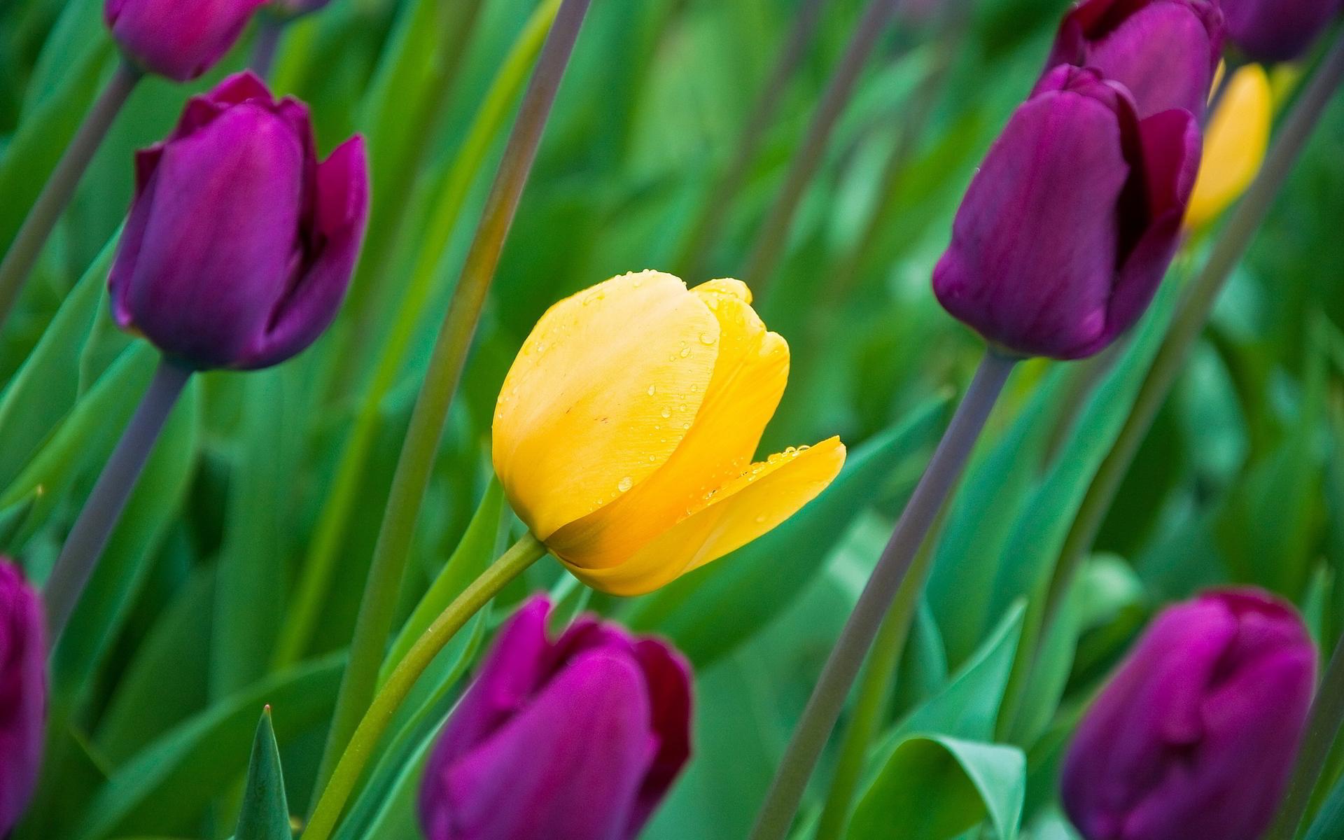 Purple yellow tulips