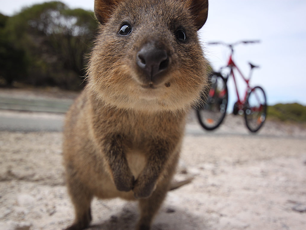 Quokka Australian Animal Instagram Selfie Trend
