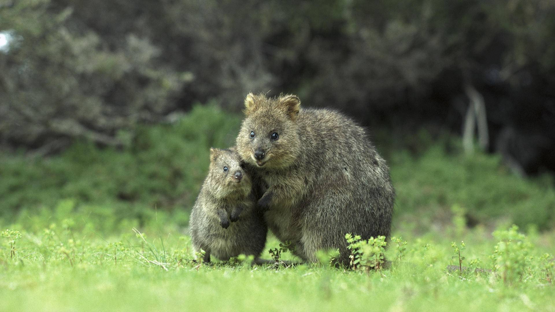 Quokka Eating Gif Quokka eating. Animals For Quo.