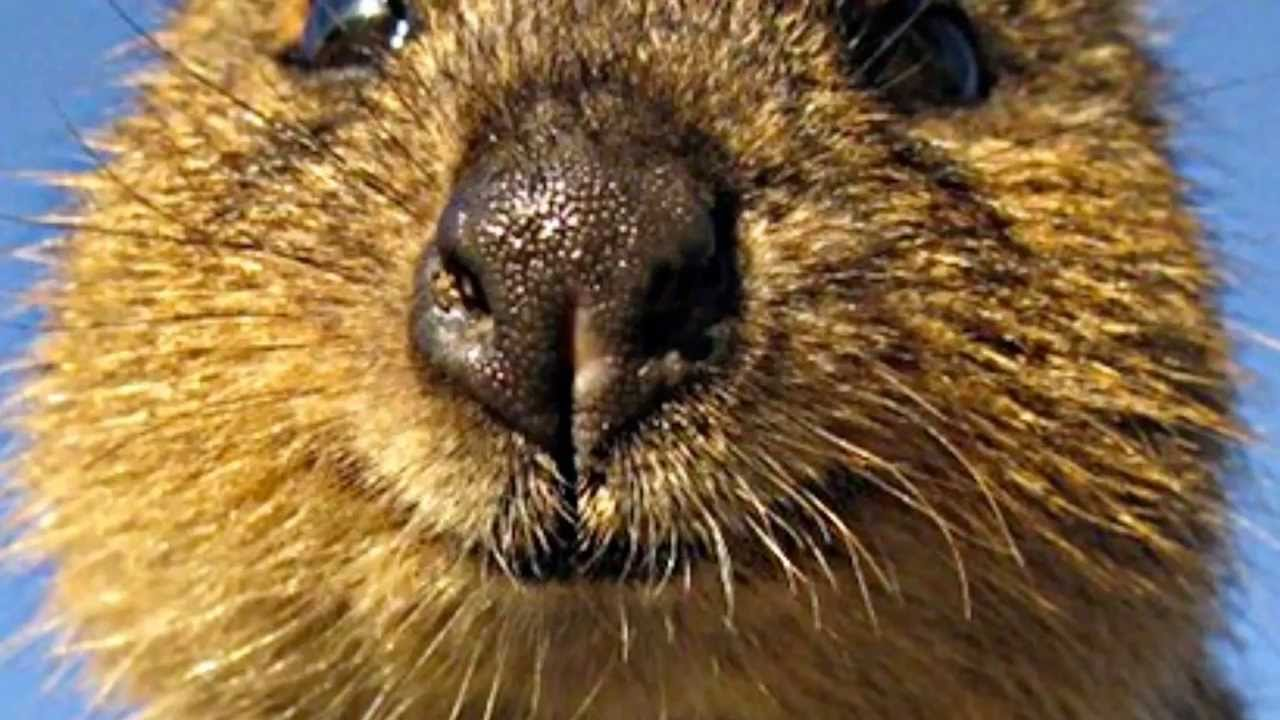 Get Your Quokka Smile On! HD