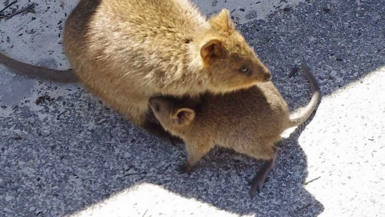 Quokka with baby