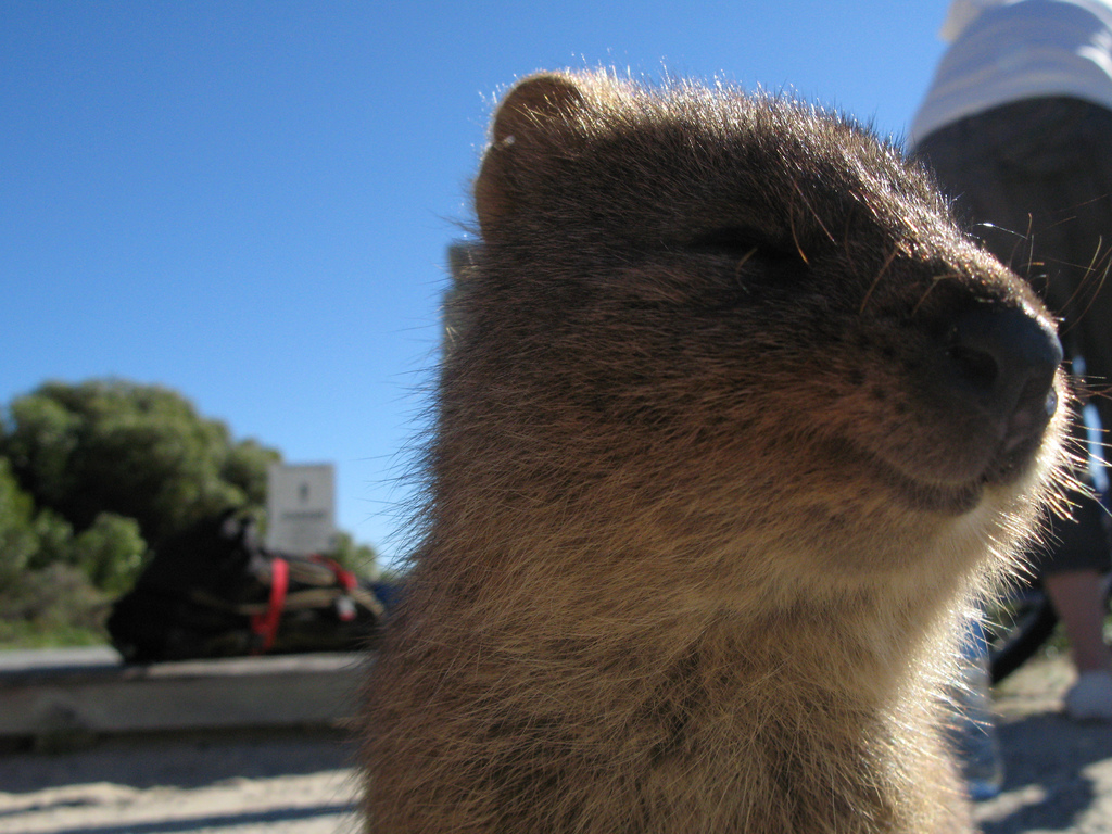 Quokka wallpaper | 1024x768 | #58933