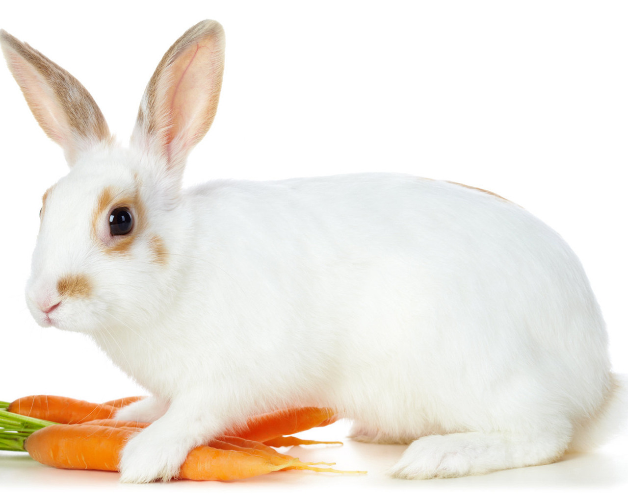 Cute White Rabbits Wallpapers 10