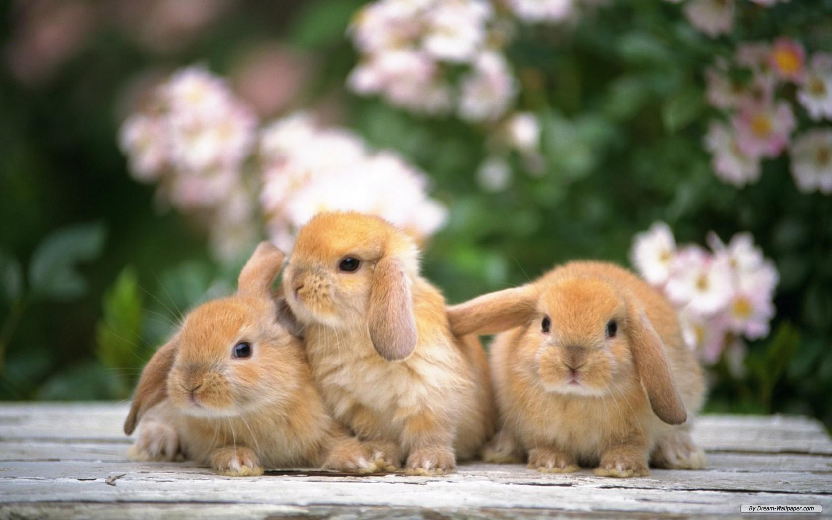 Rabbit Wallpaper 12