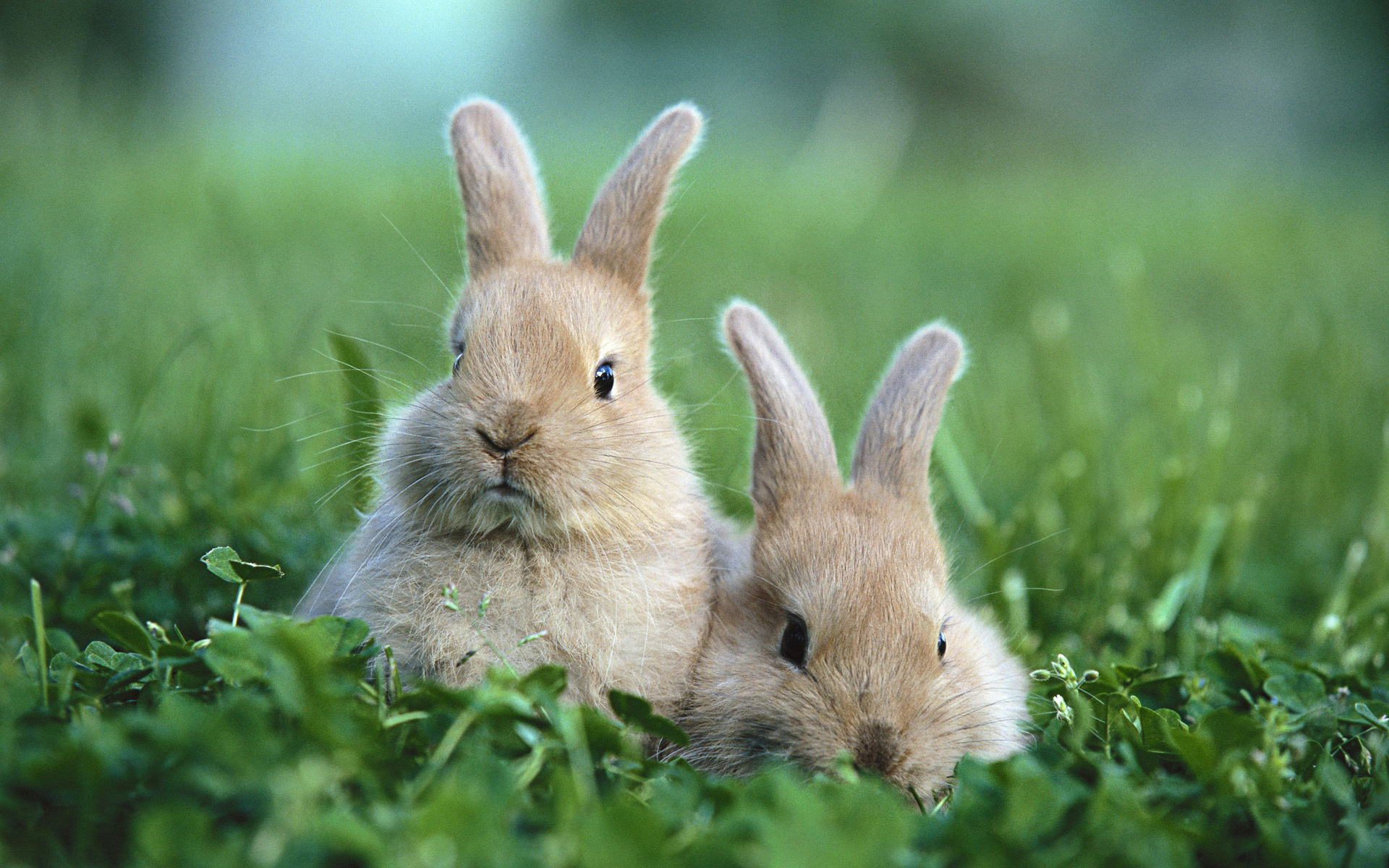 Animal - Rabbit Wallpaper