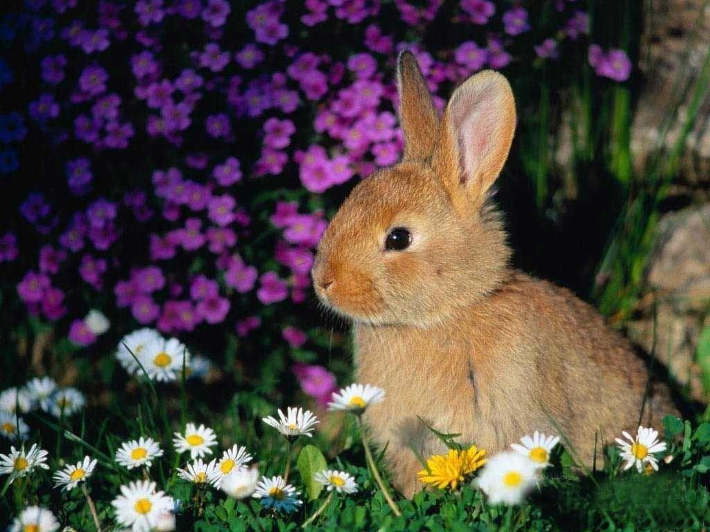 Rabbit Wallpaper 7
