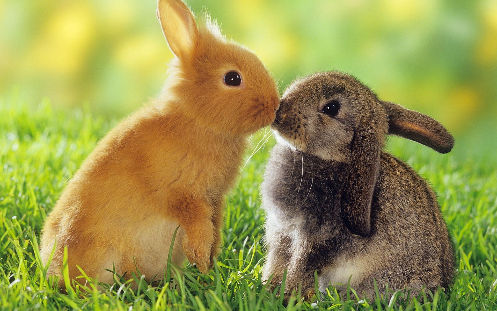Rabbits Kiss