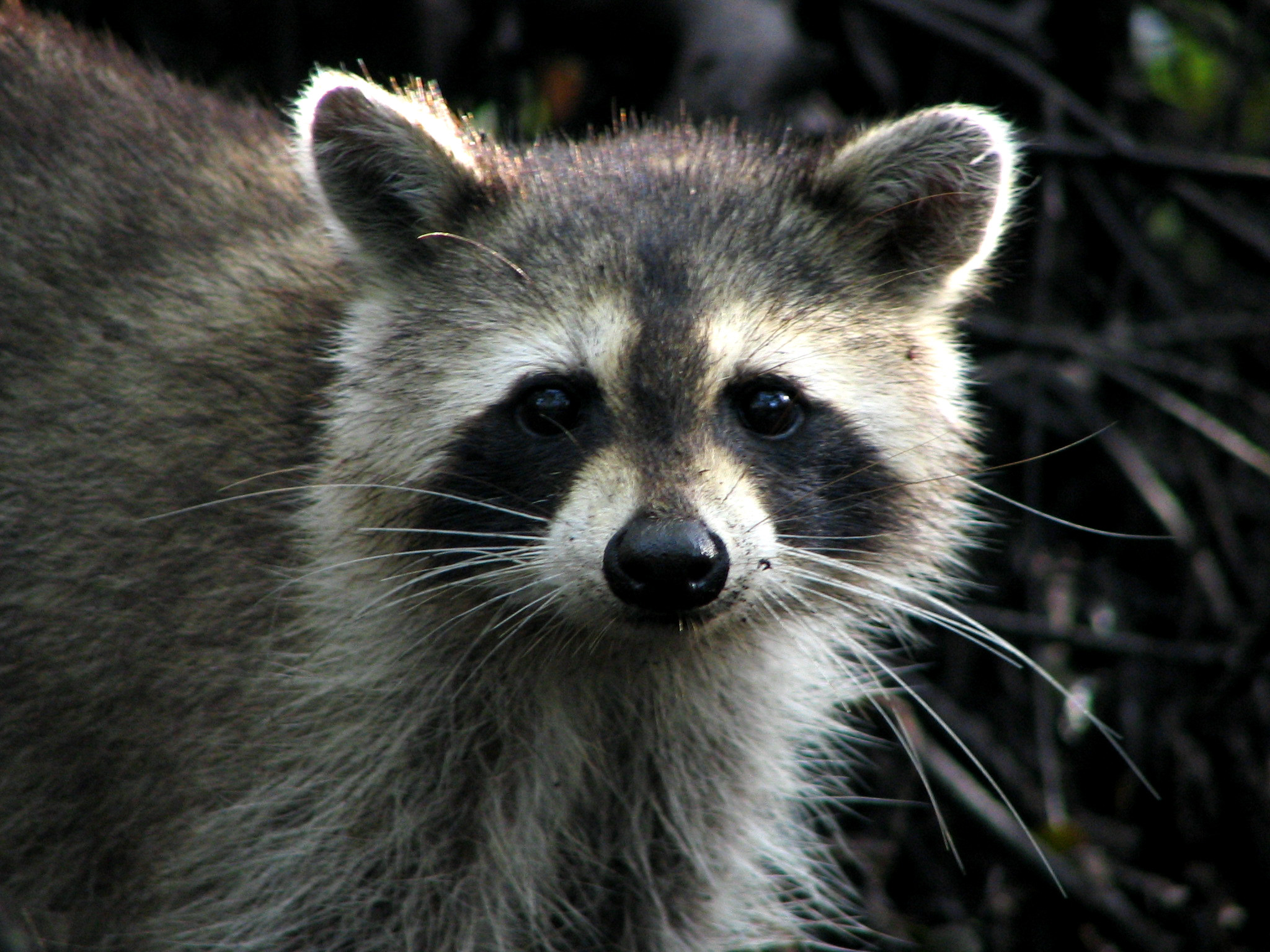 File:Raccoon - Jonathan Dickinson State Park.jpg