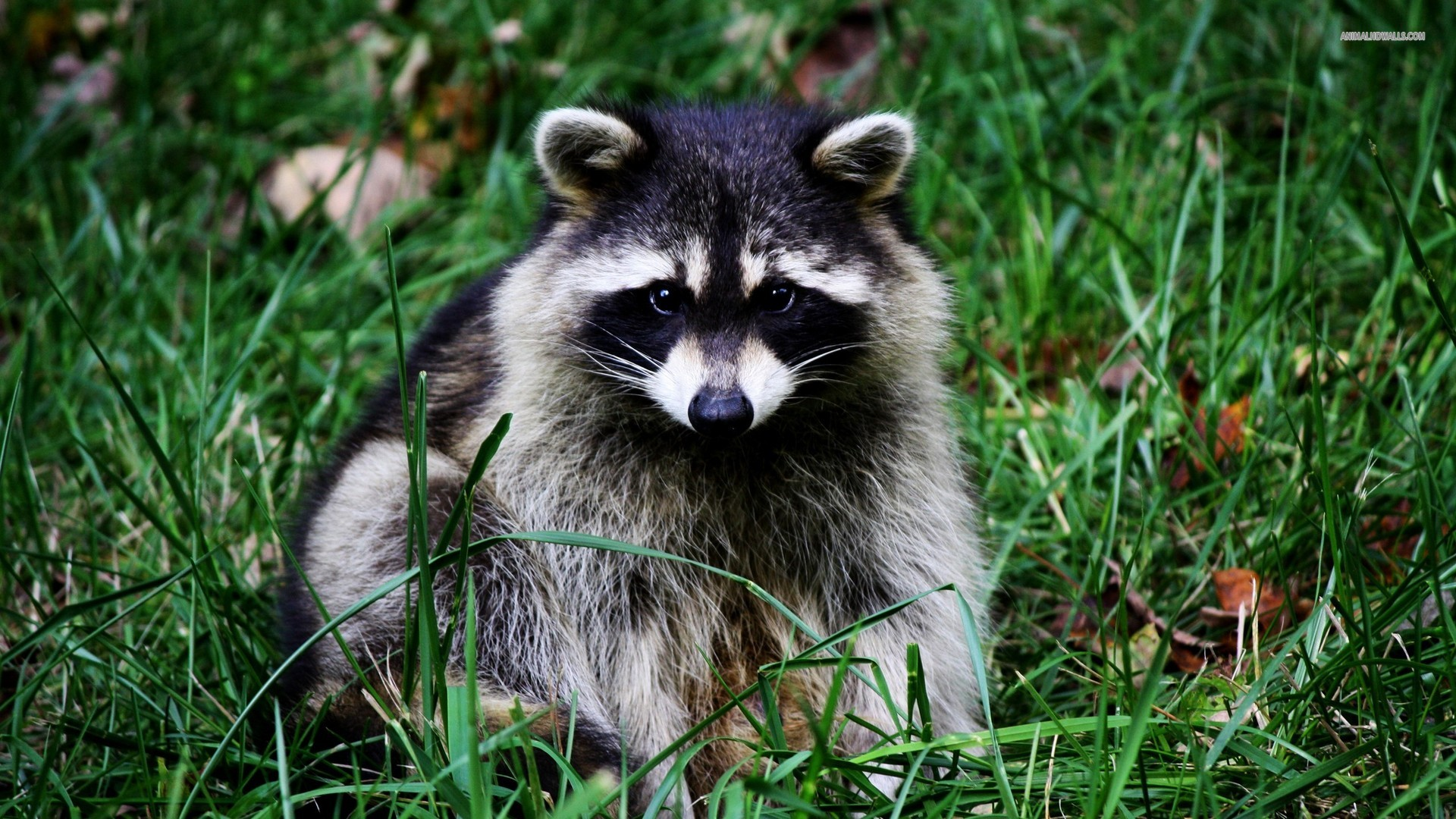 raccoon wallpaper | 1920x1080 | #58938