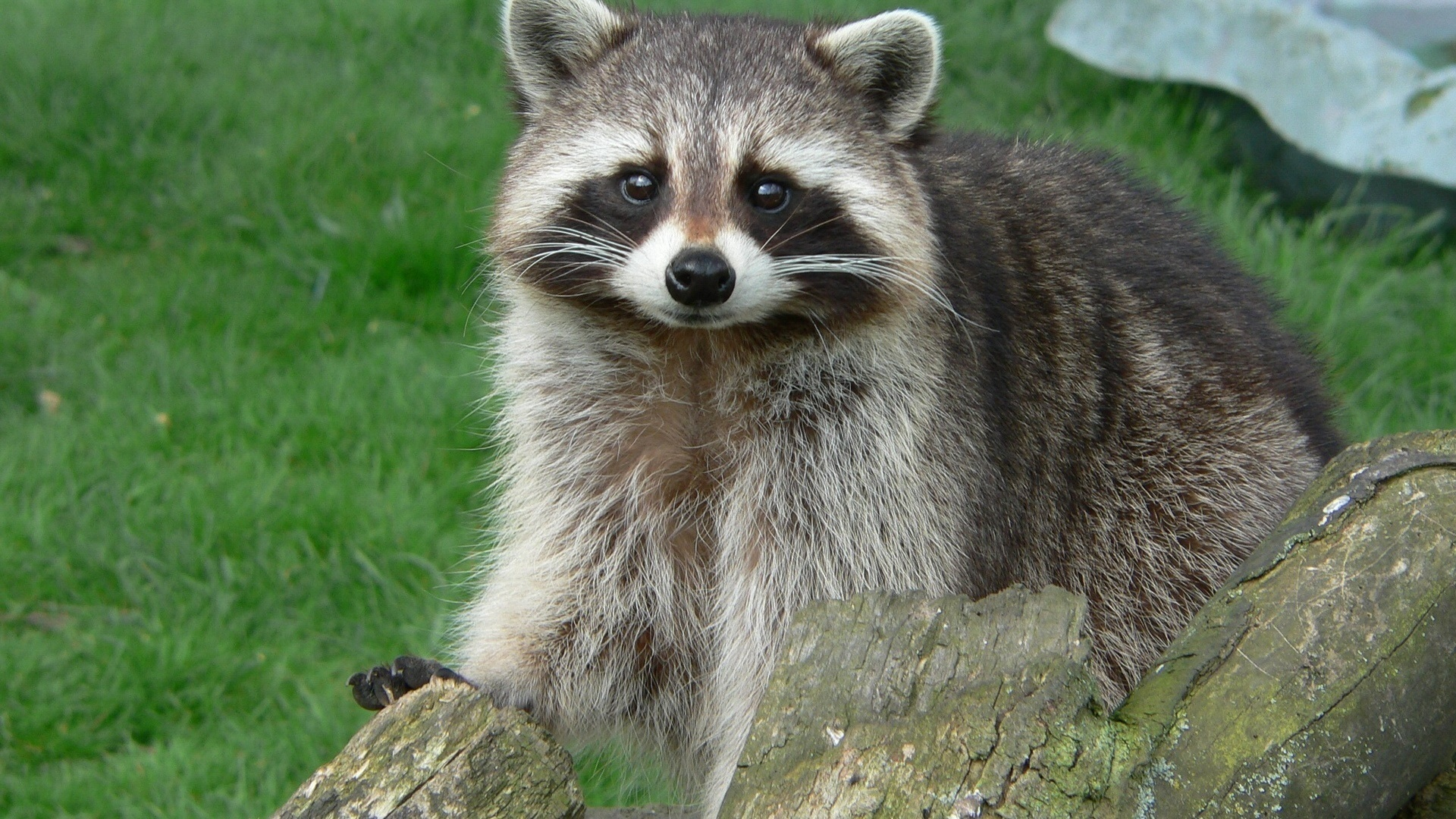 Wallpapers Raccoons Animals Raccoons Animals. Wallpapers Raccoons Animals