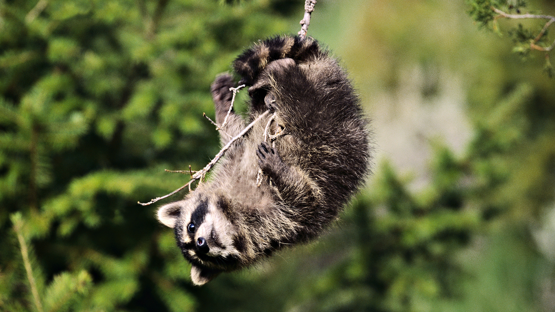 HD Wallpaper | Background ID:404018. 1920x1080 Animal Raccoon